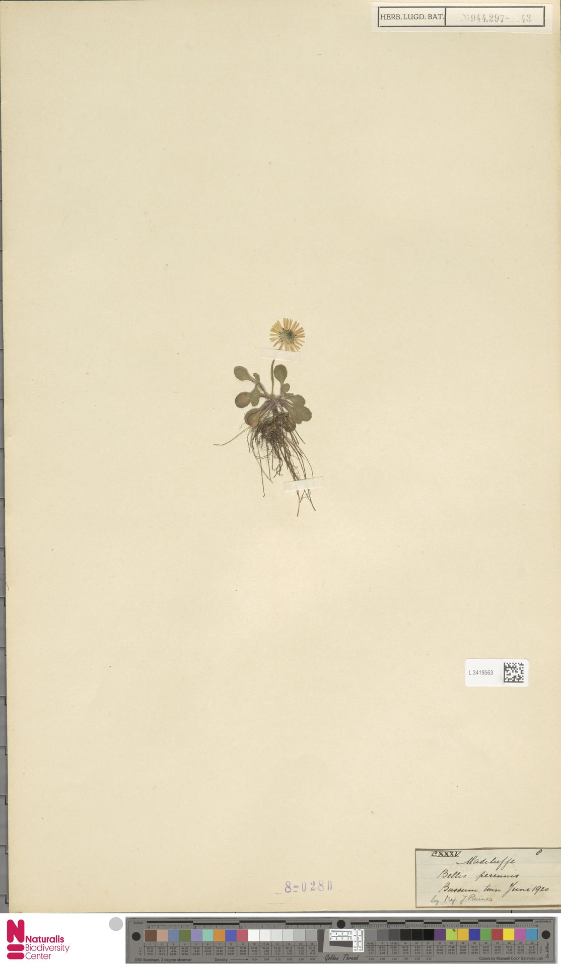 L.3419563 | Bellis perennis L.