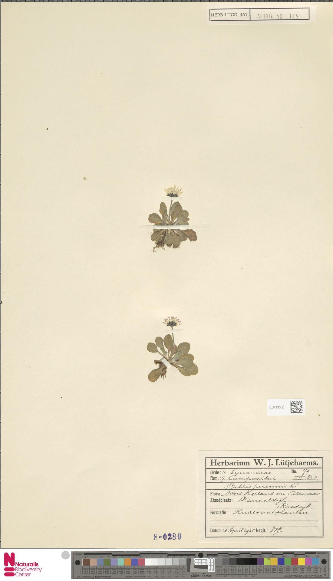 L.3419568 | Bellis perennis L.