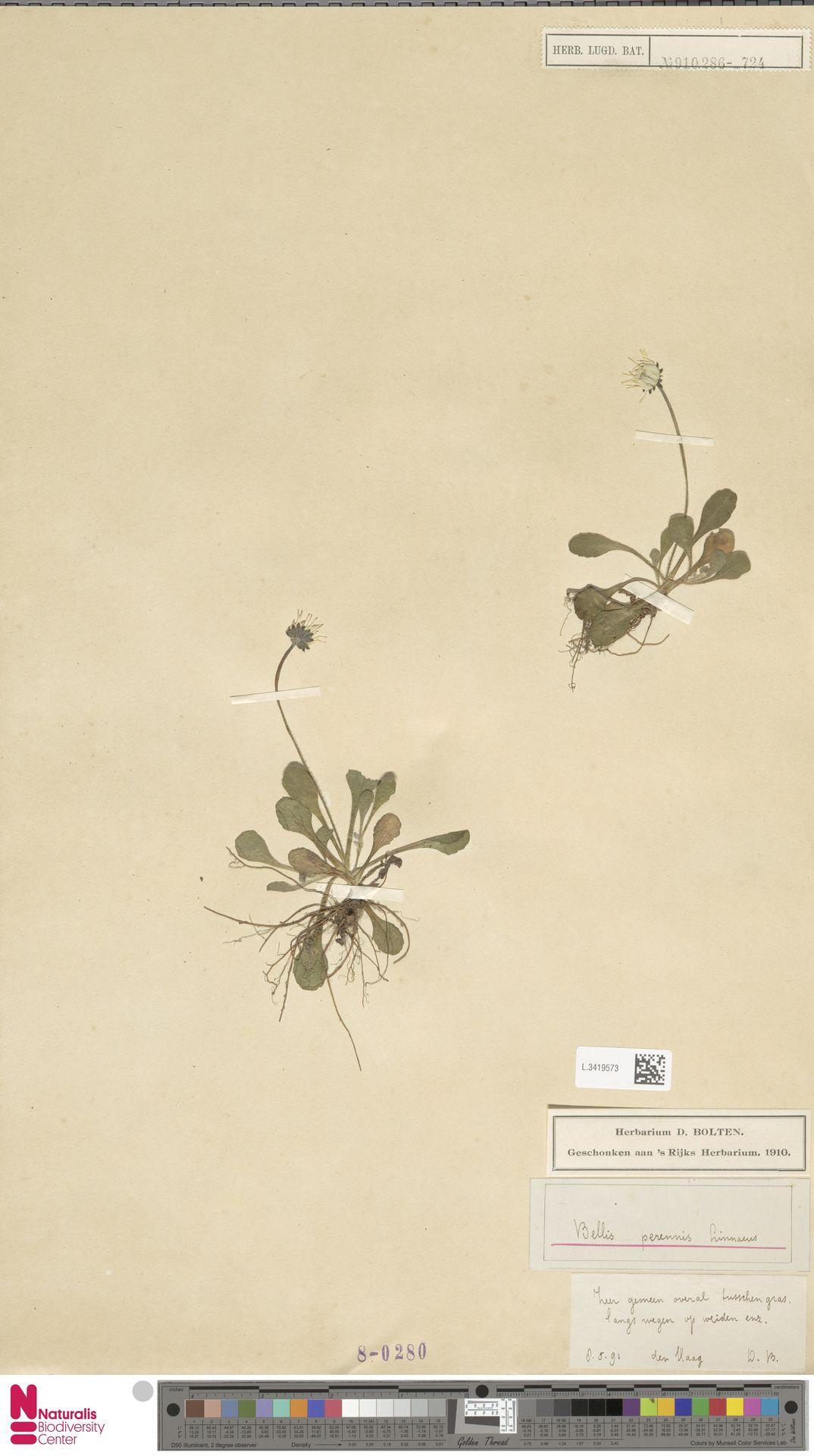 L.3419573 | Bellis perennis L.