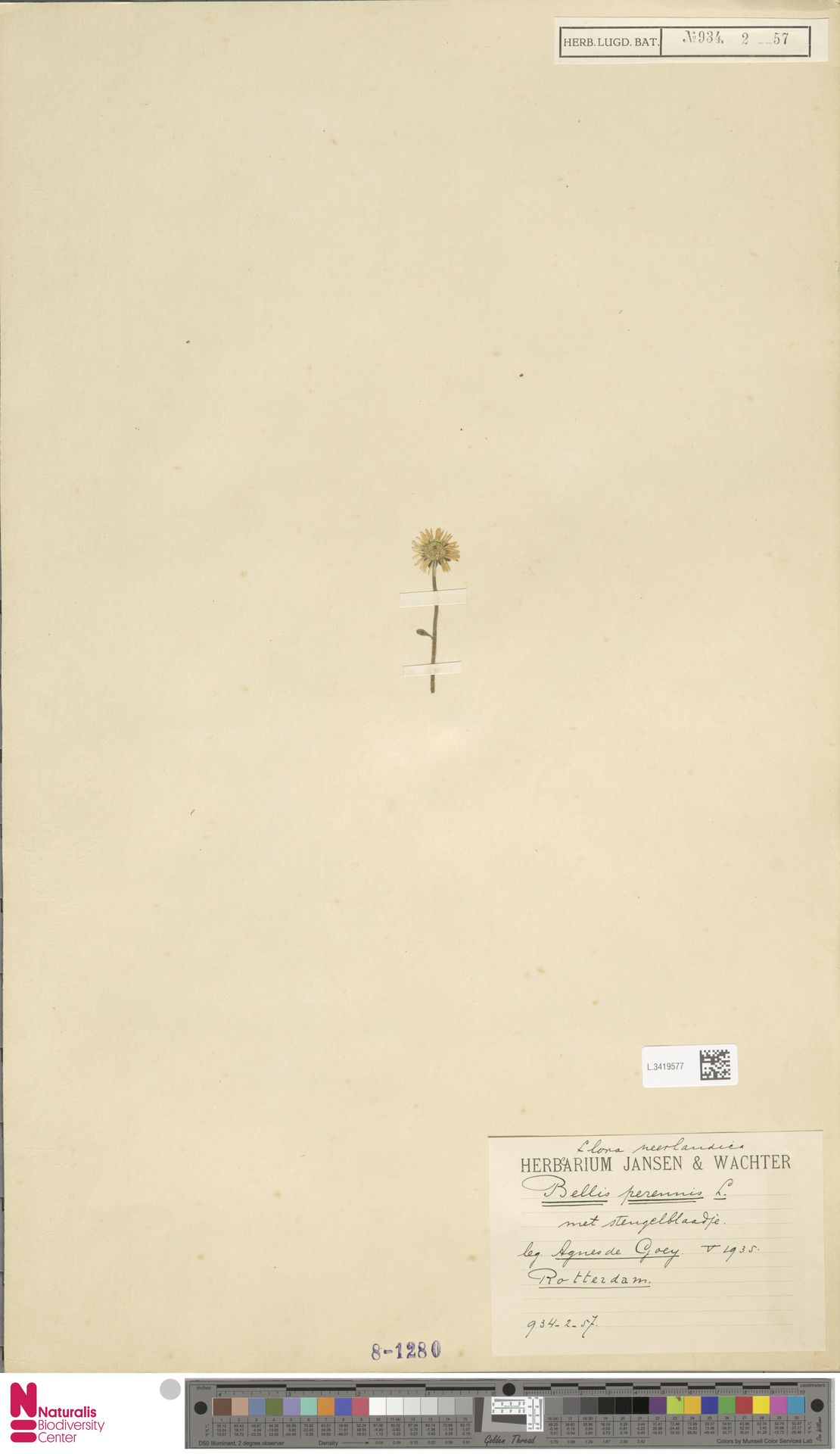 L.3419577 | Bellis perennis L.