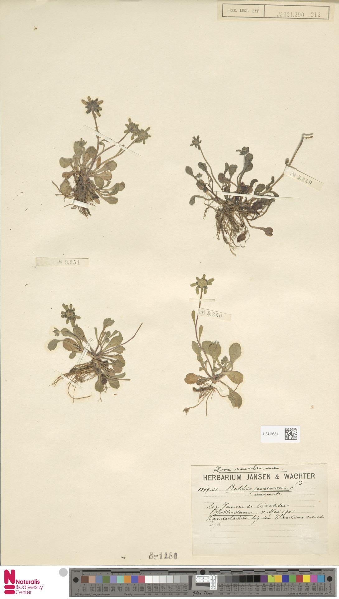 L.3419581   Bellis perennis L.