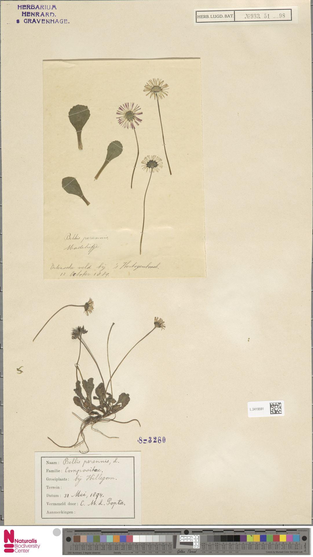 L.3419591 | Bellis perennis L.