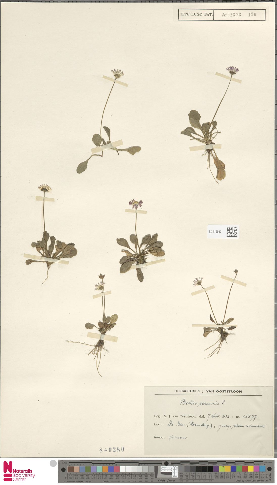 L.3419599 | Bellis perennis L.