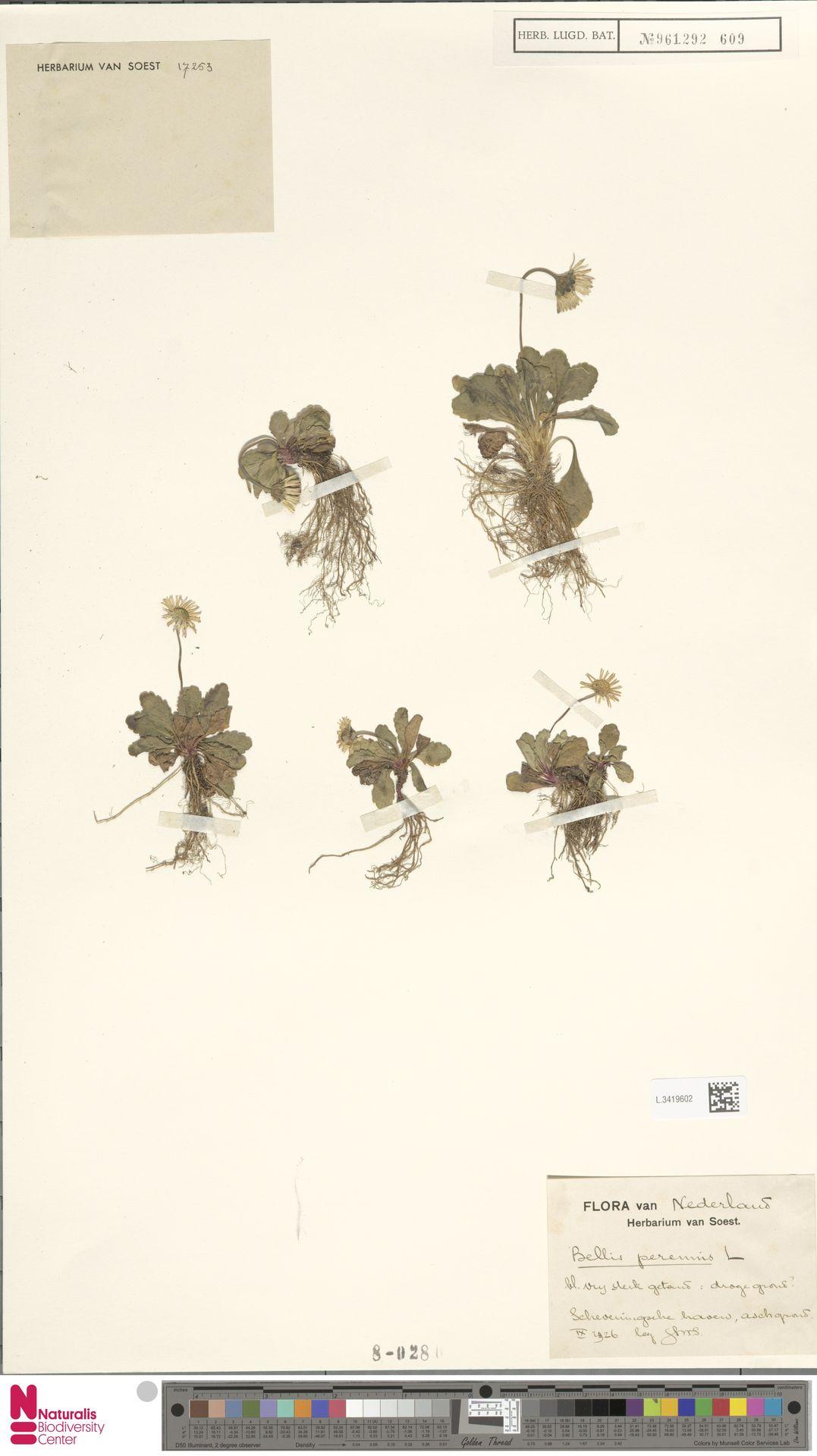 L.3419602 | Bellis perennis L.