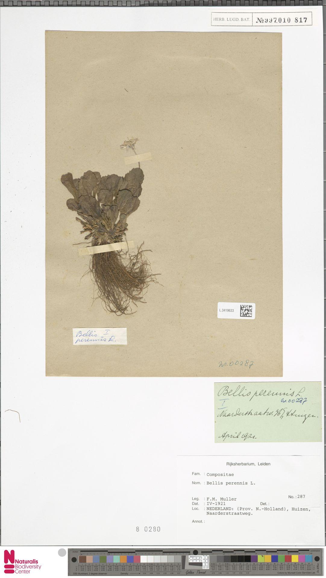 L.3419633 | Bellis perennis L.