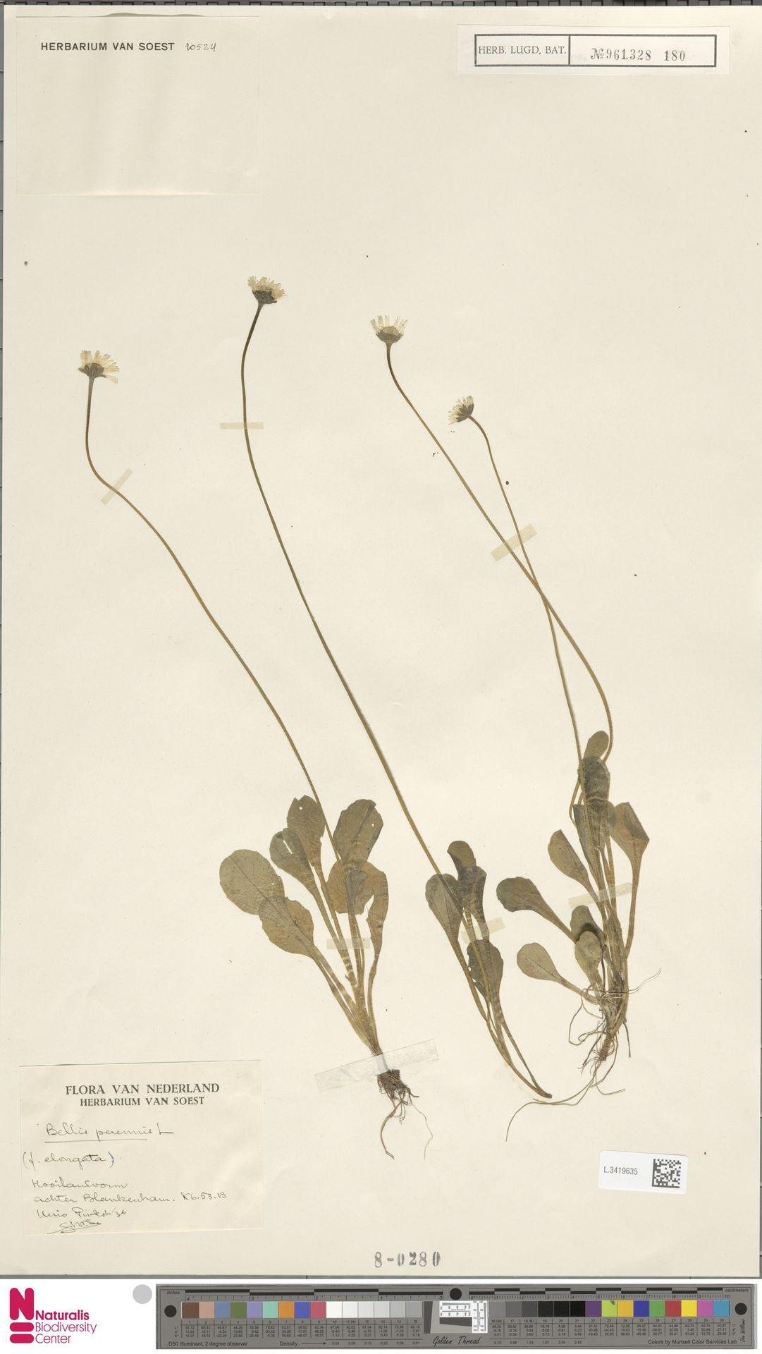 L.3419635 | Bellis perennis L.