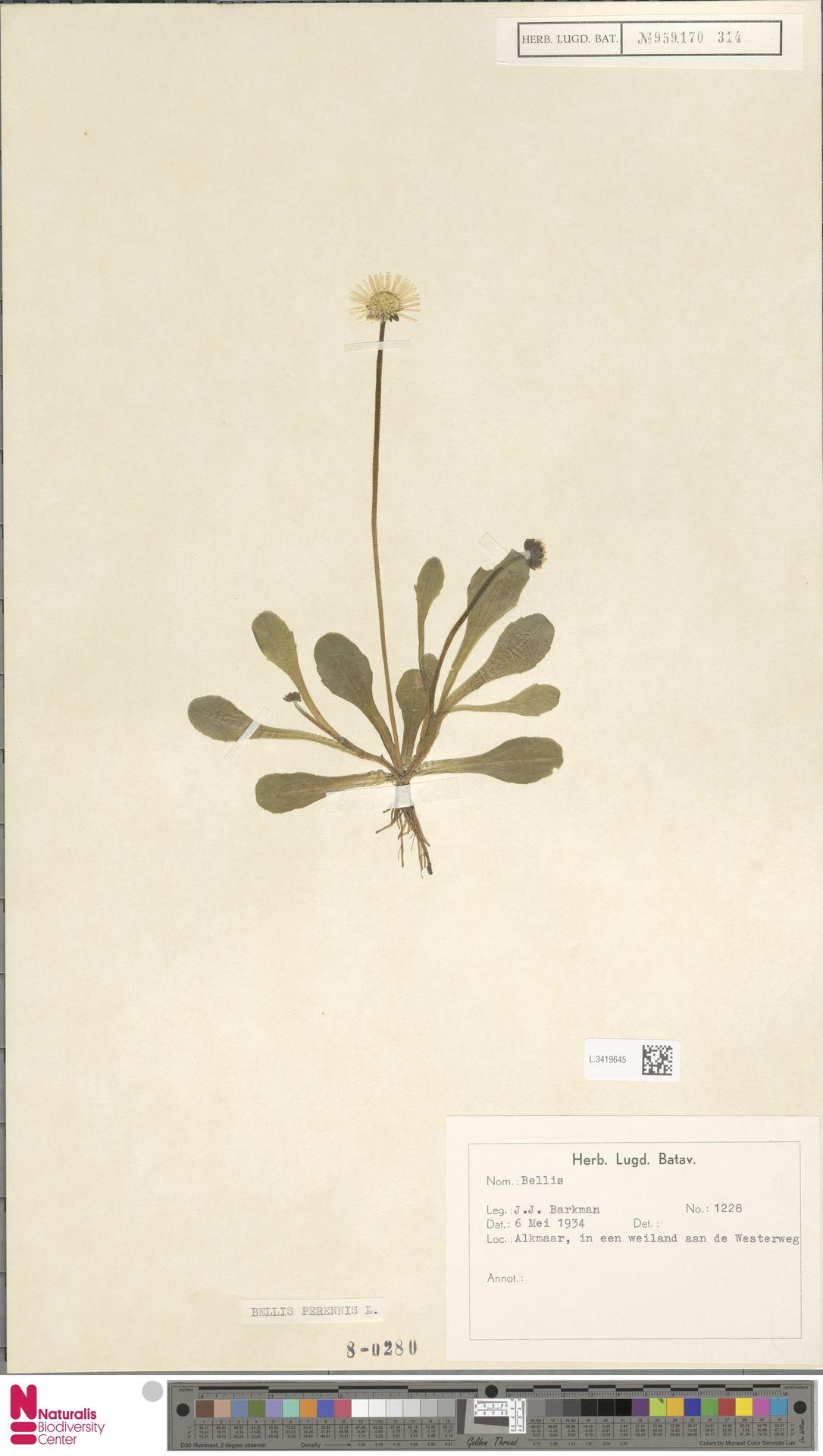 L.3419645 | Bellis perennis L.