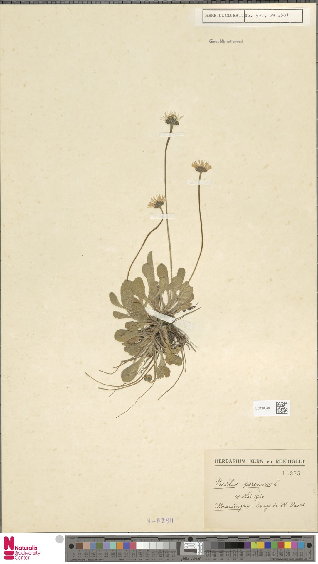 L.3419648 | Bellis perennis L.