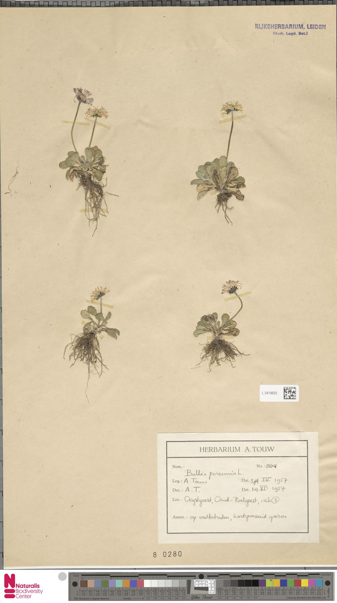 L.3419655 | Bellis perennis L.