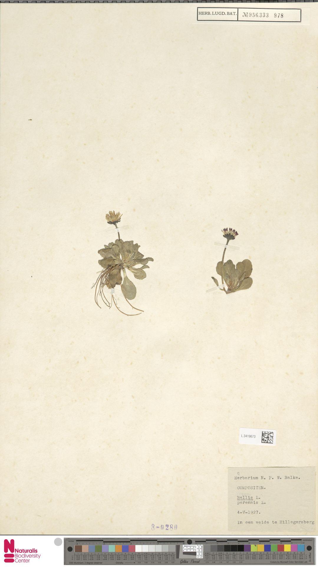 L.3419673   Bellis perennis L.