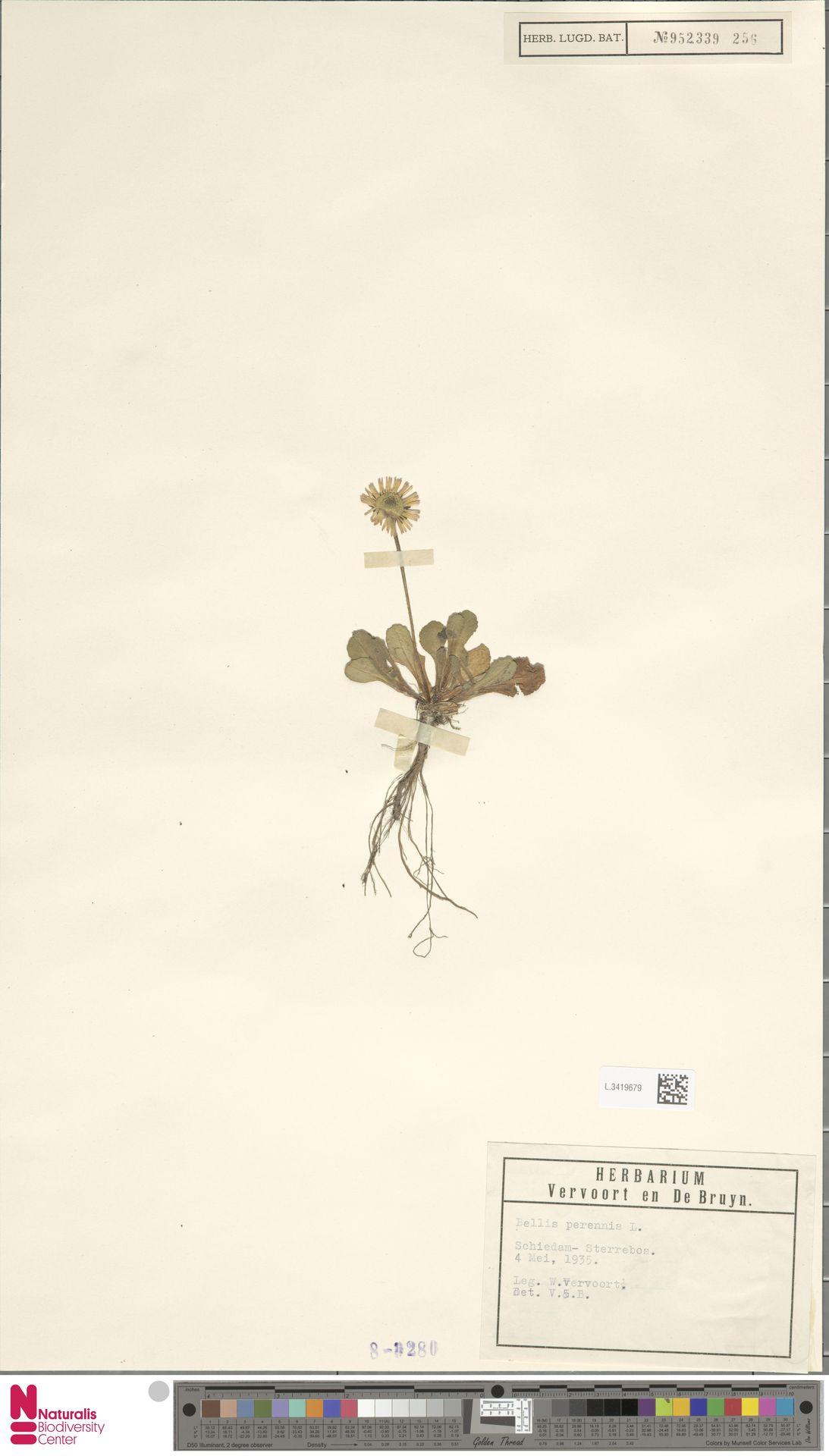 L.3419679 | Bellis perennis L.