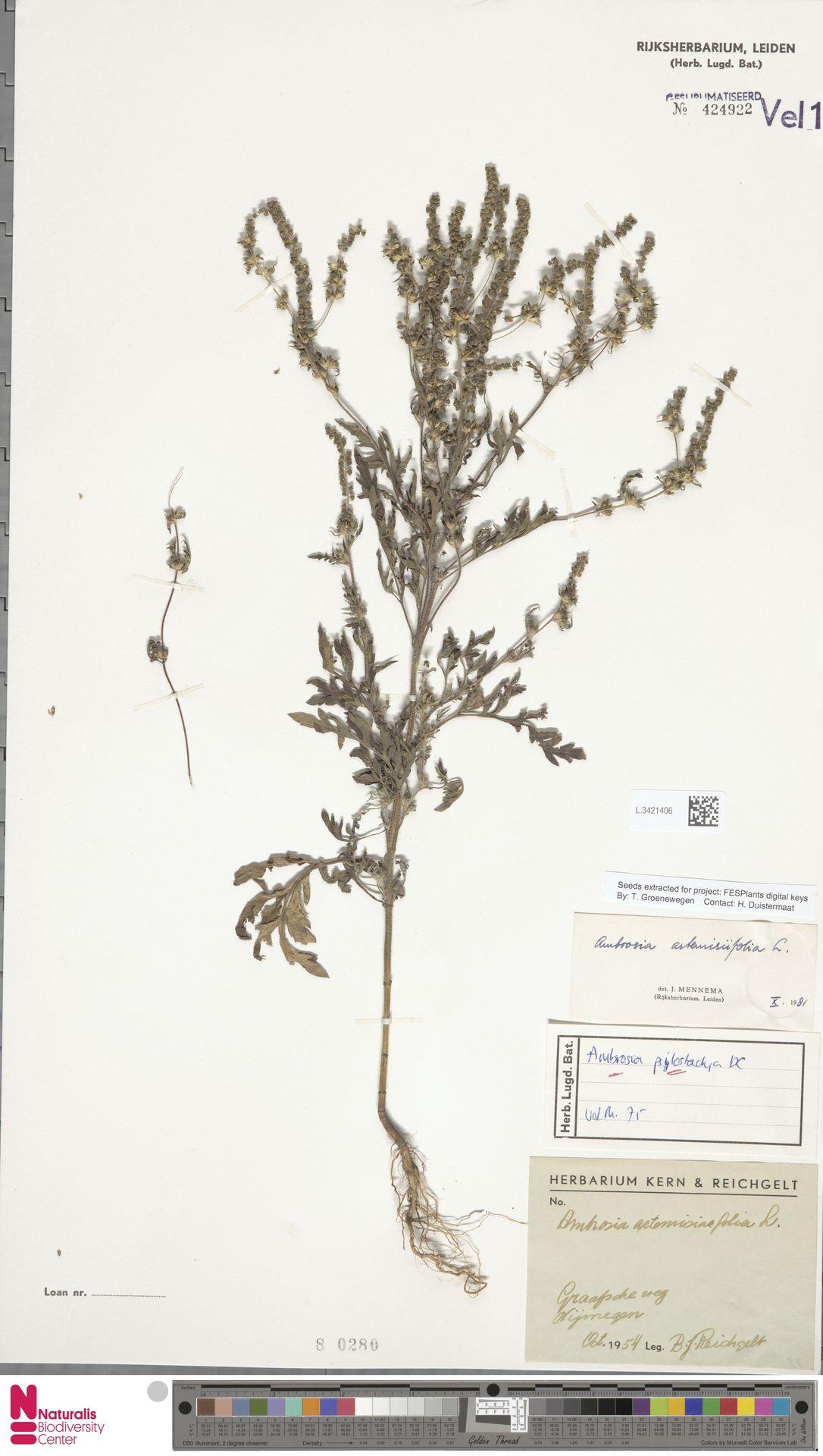 L.3421406   Ambrosia artemisiifolia L.