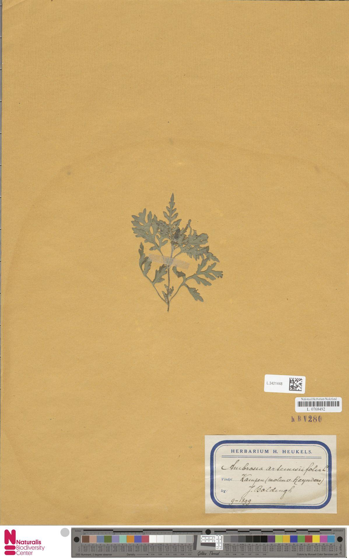 L.3421448   Ambrosia artemisiifolia L.