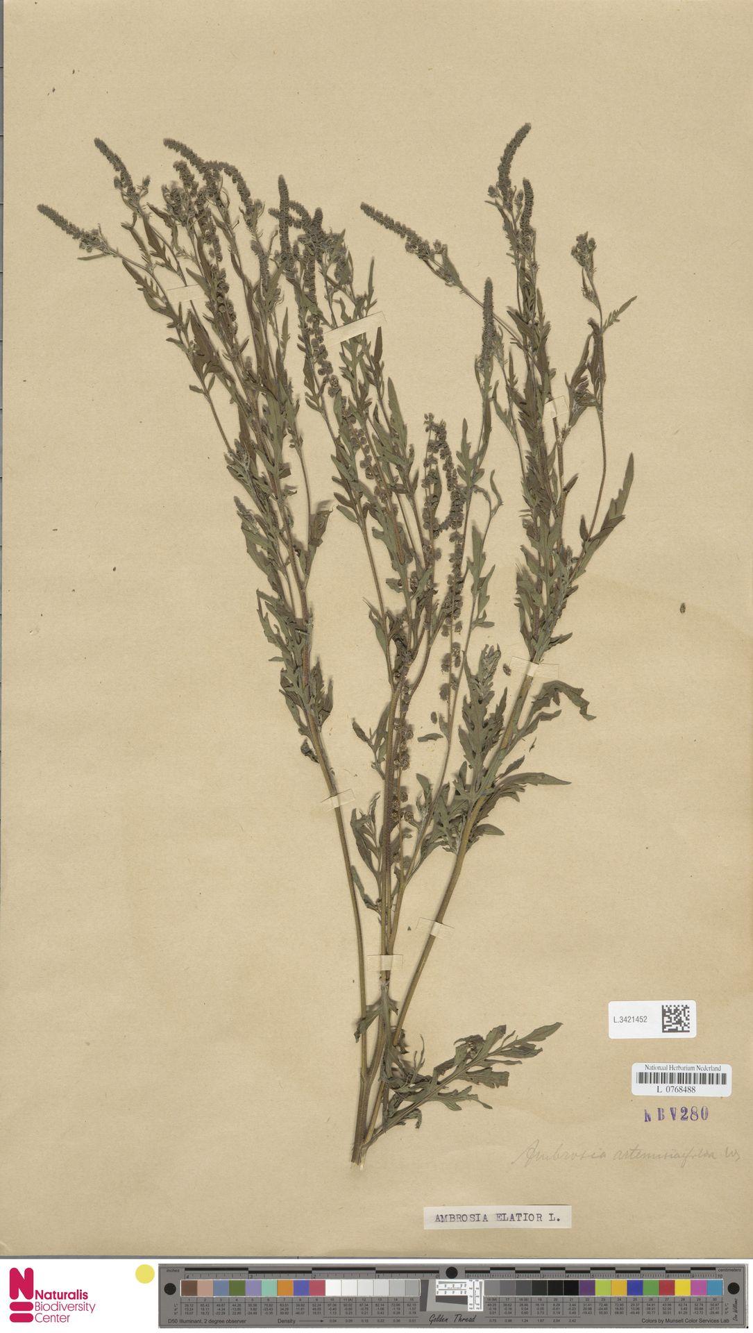 L.3421452 | Ambrosia artemisiifolia L.