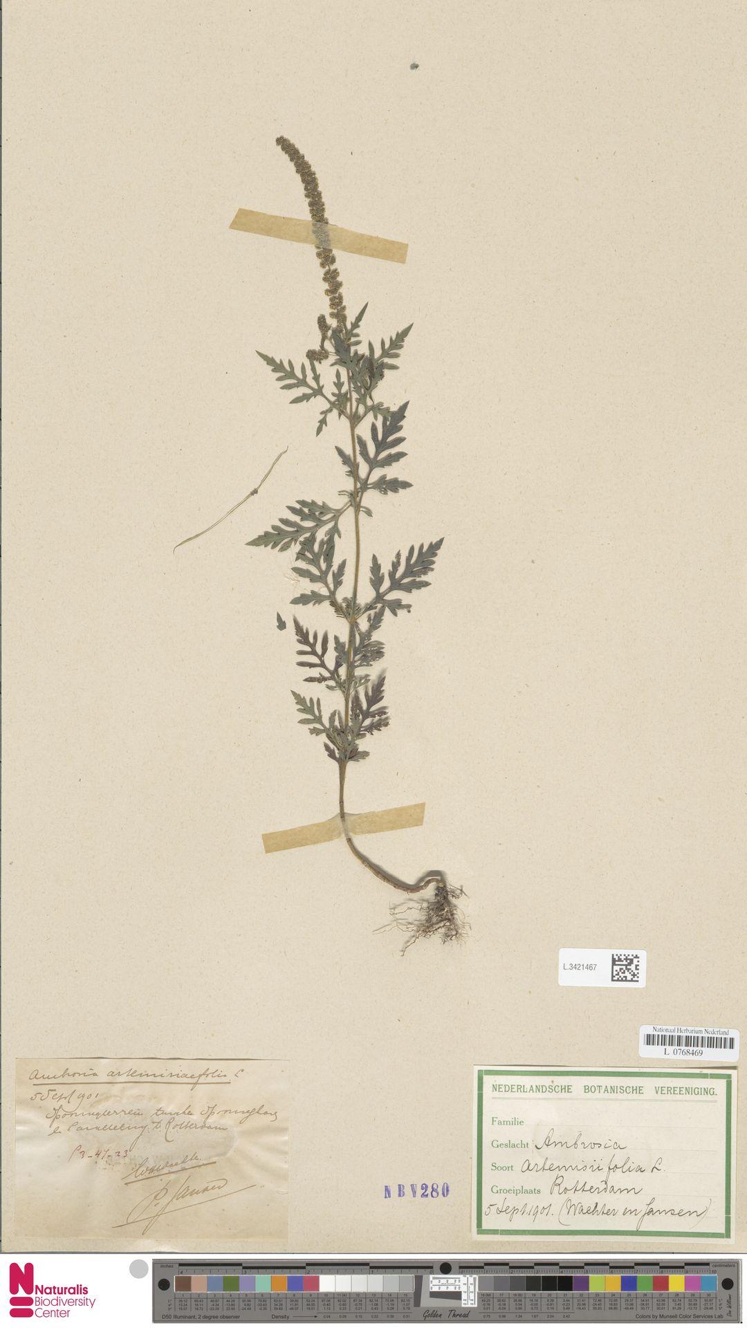 L.3421467   Ambrosia artemisiifolia L.
