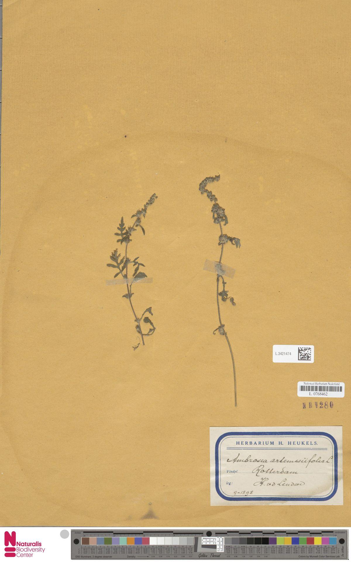 L.3421474   Ambrosia artemisiifolia L.