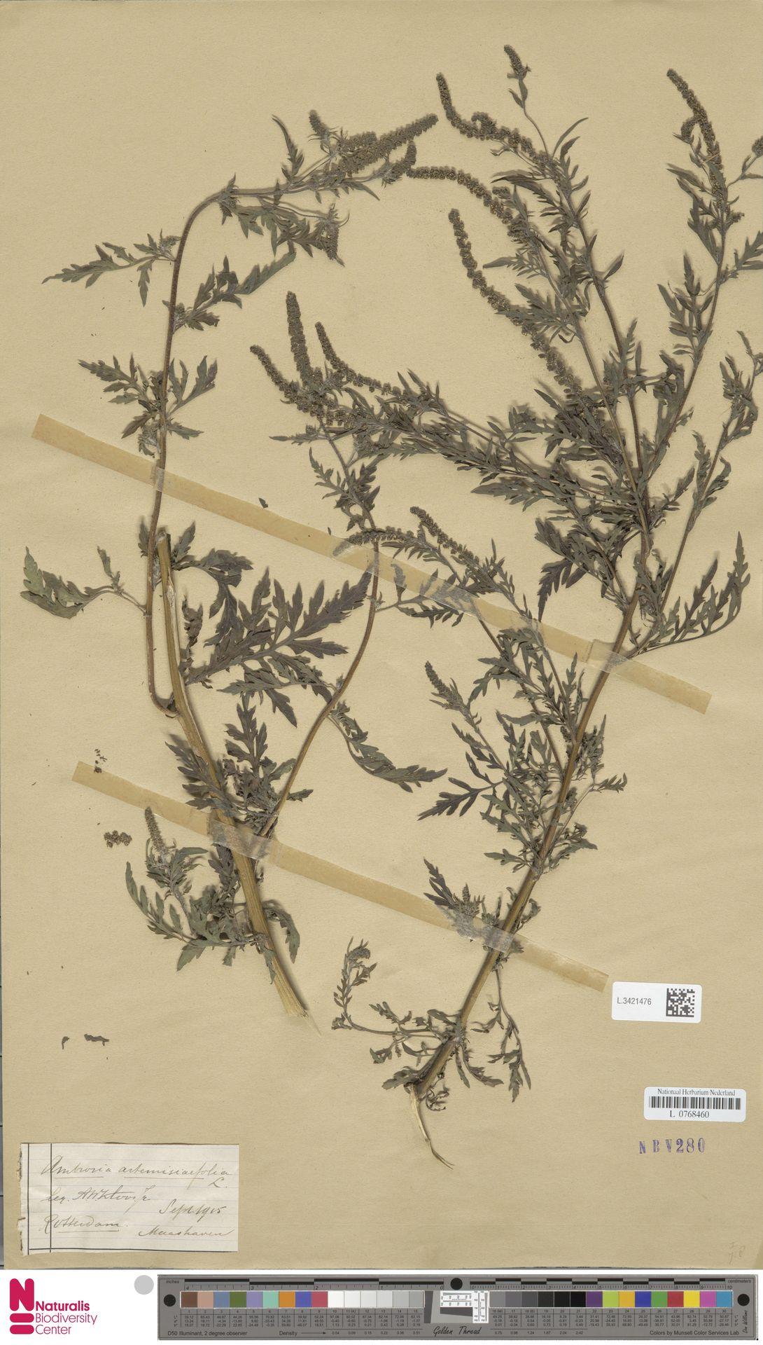 L.3421476 | Ambrosia artemisiifolia L.