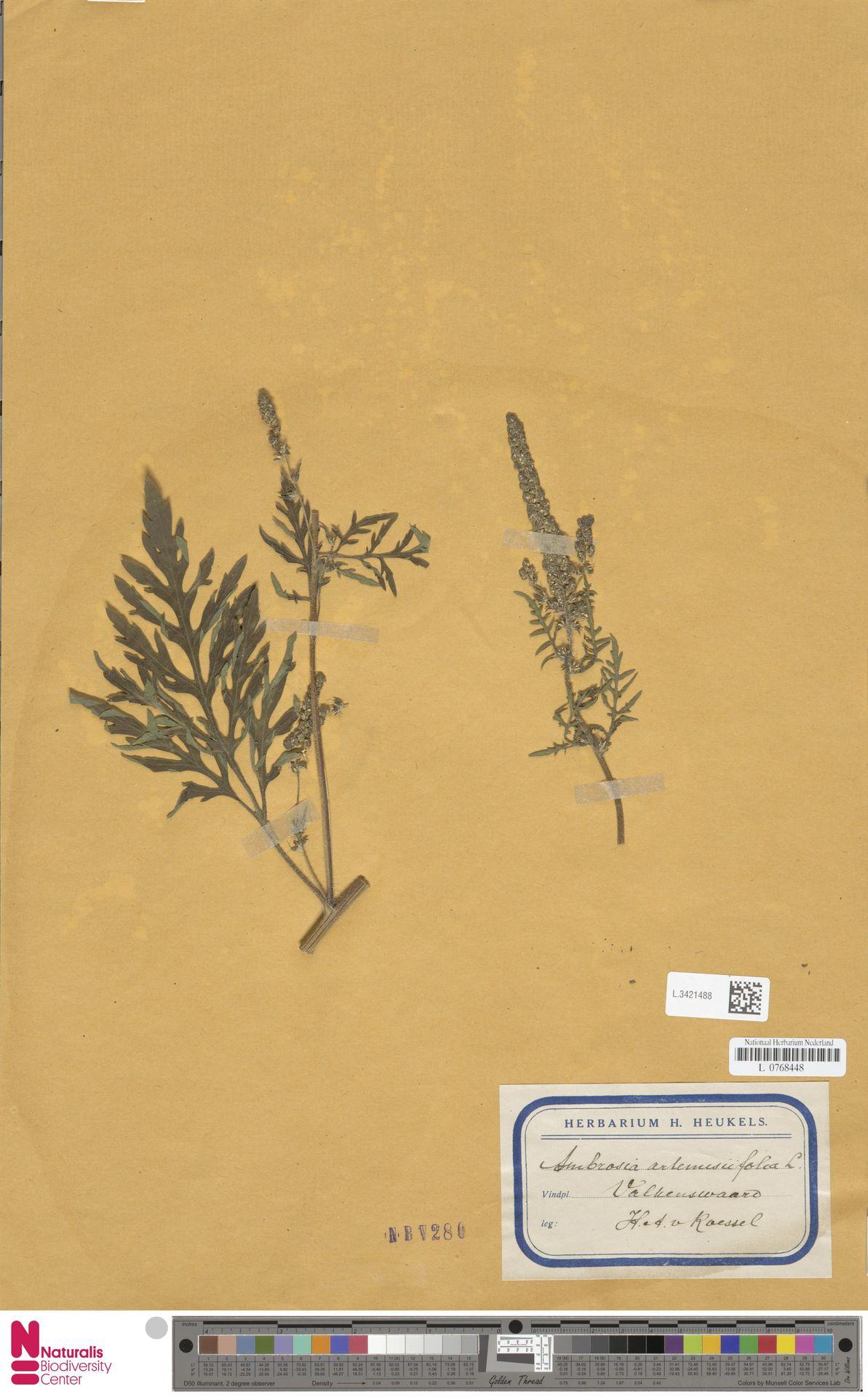 L.3421488   Ambrosia artemisiifolia L.