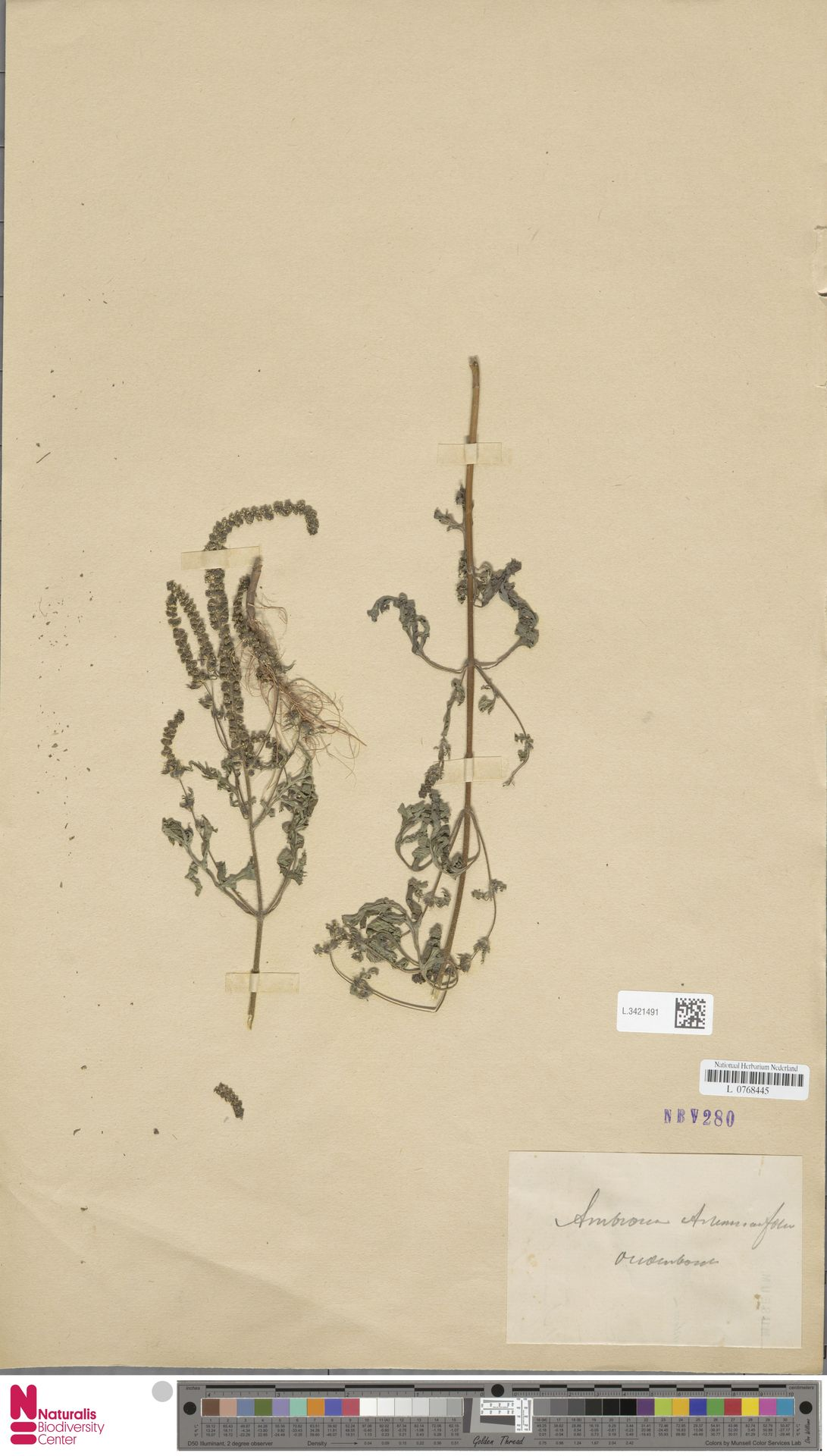 L.3421491   Ambrosia artemisiifolia L.