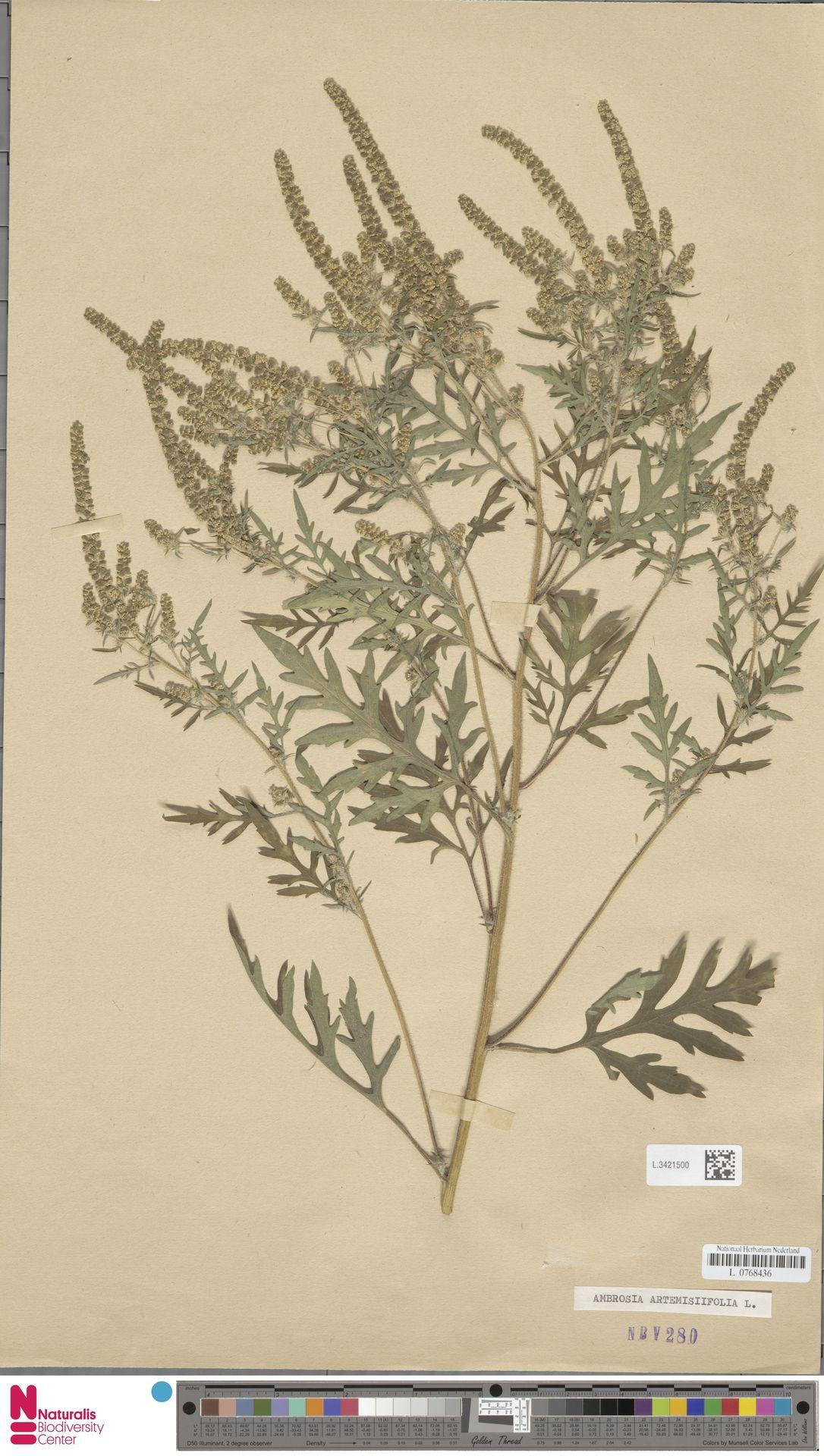 L.3421500   Ambrosia artemisiifolia L.
