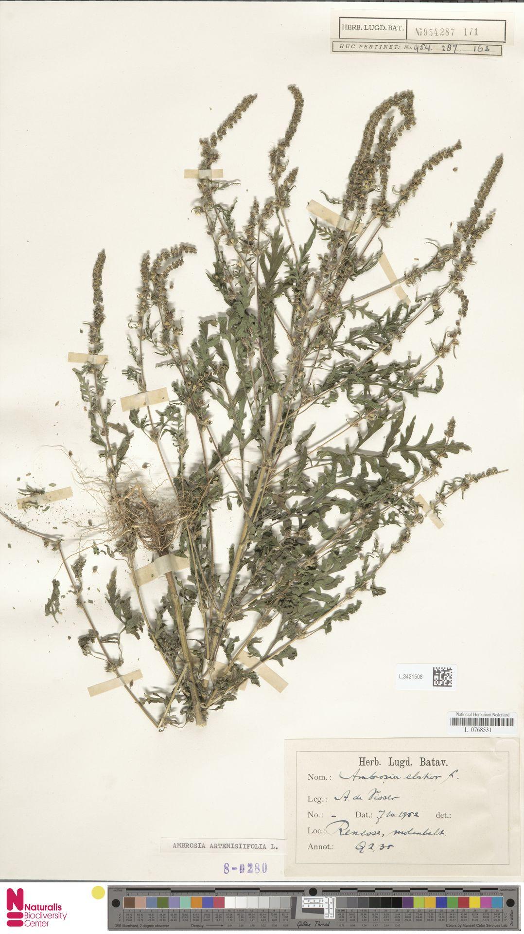 L.3421508   Ambrosia artemisiifolia L.