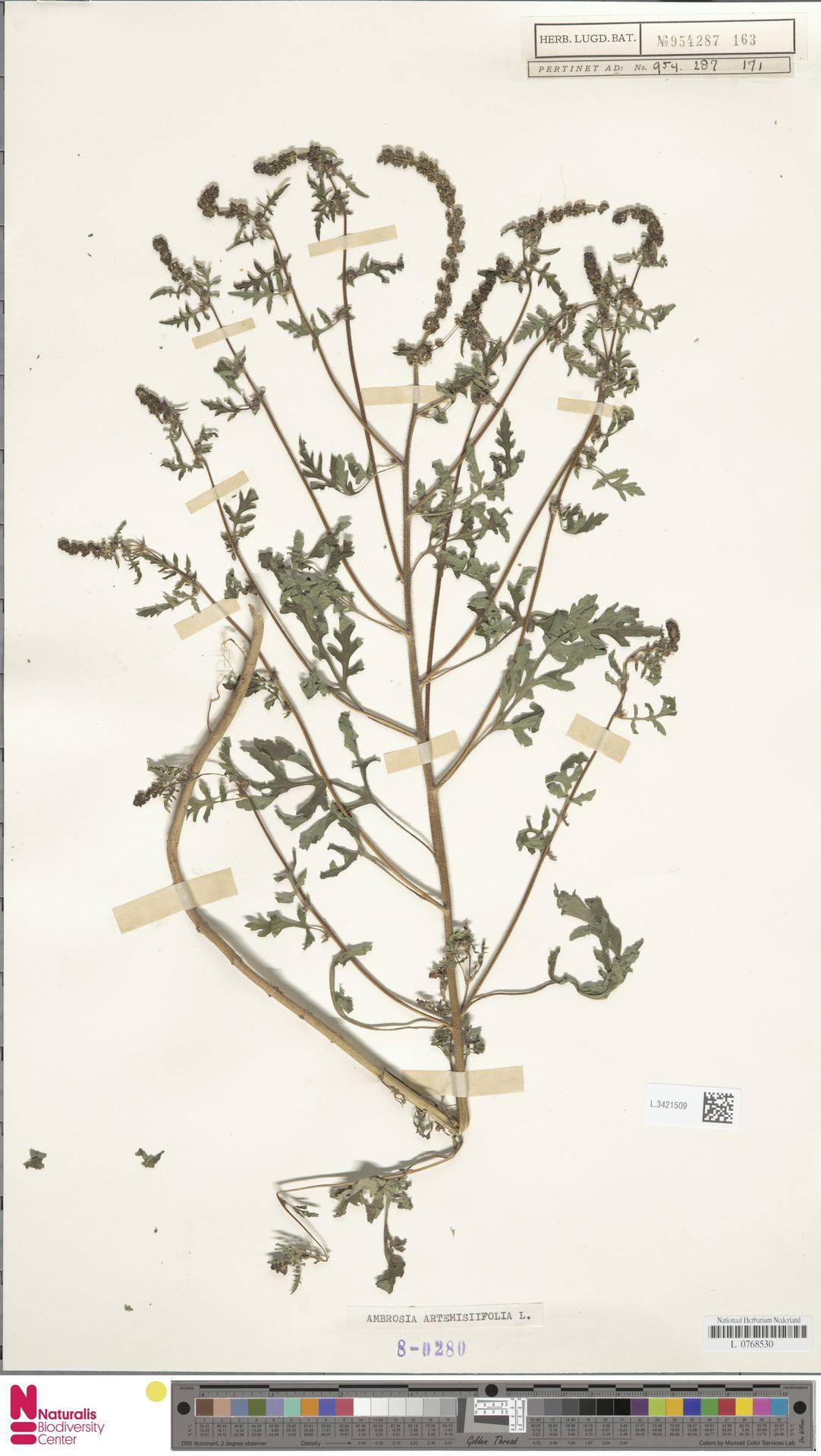 L.3421509 | Ambrosia artemisiifolia L.