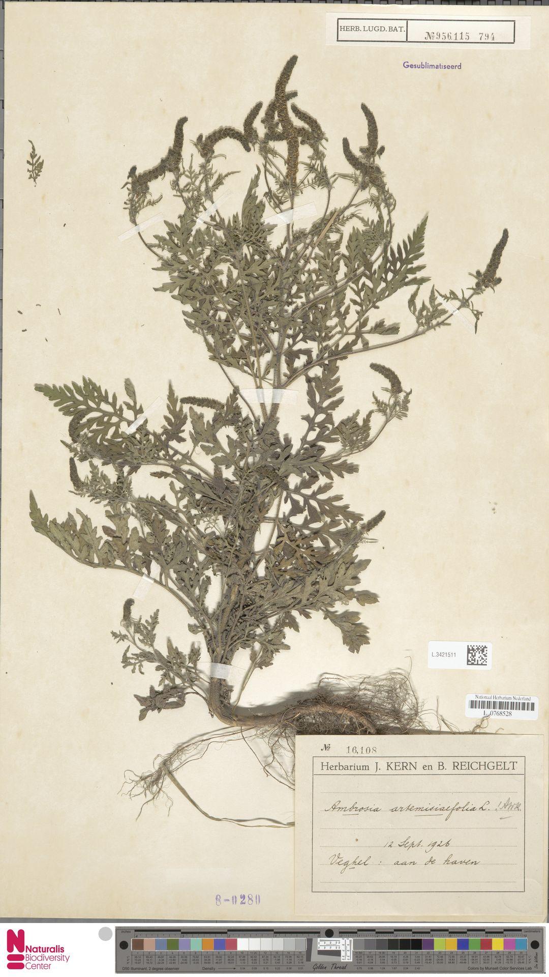 L.3421511   Ambrosia artemisiifolia L.