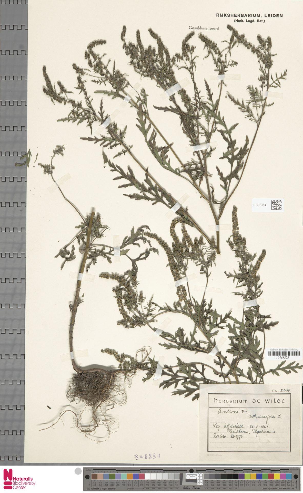 L.3421514 | Ambrosia artemisiifolia L.