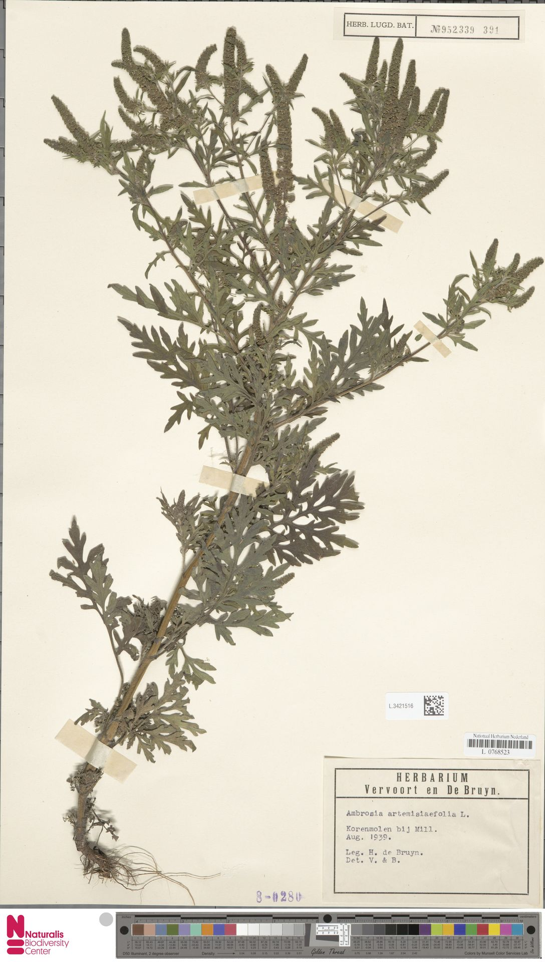 L.3421516 | Ambrosia artemisiifolia L.