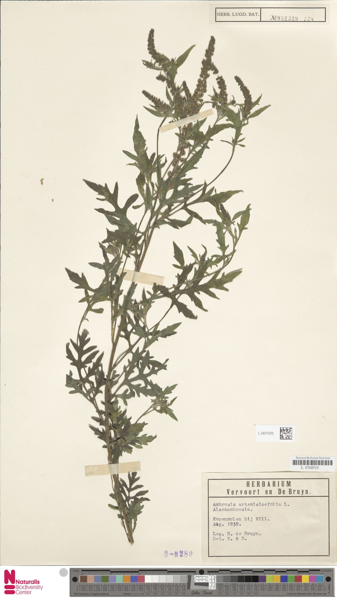 L.3421520   Ambrosia artemisiifolia L.