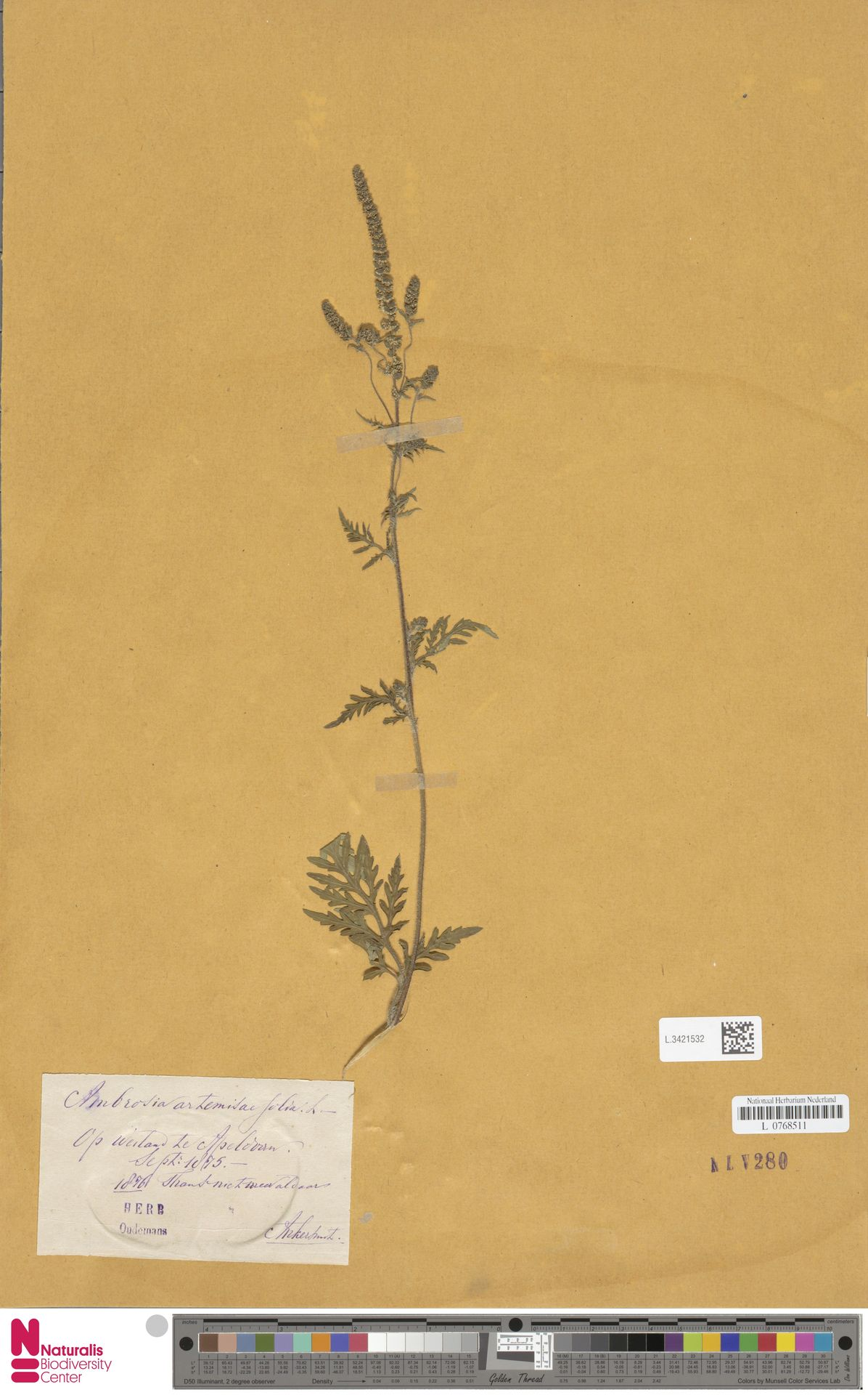 L.3421532   Ambrosia artemisiifolia L.
