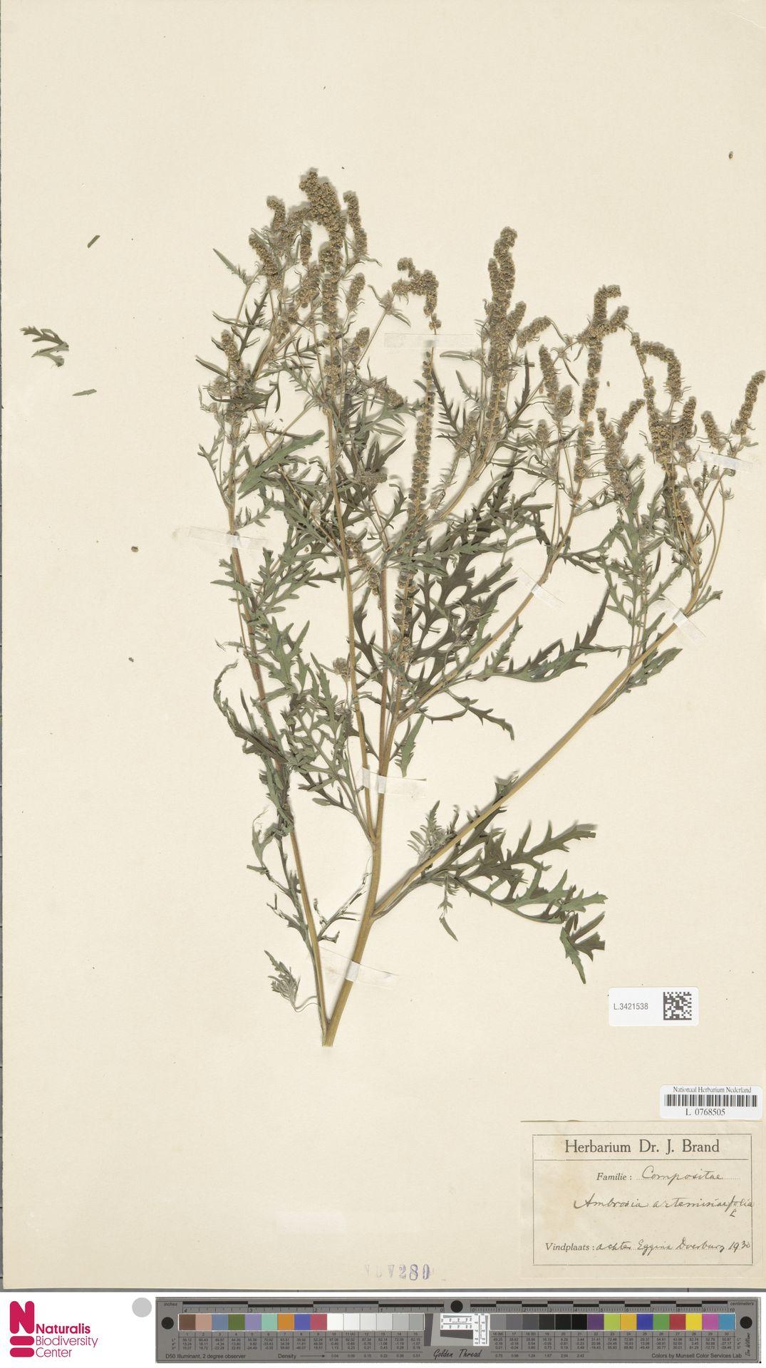 L.3421538   Ambrosia artemisiifolia L.