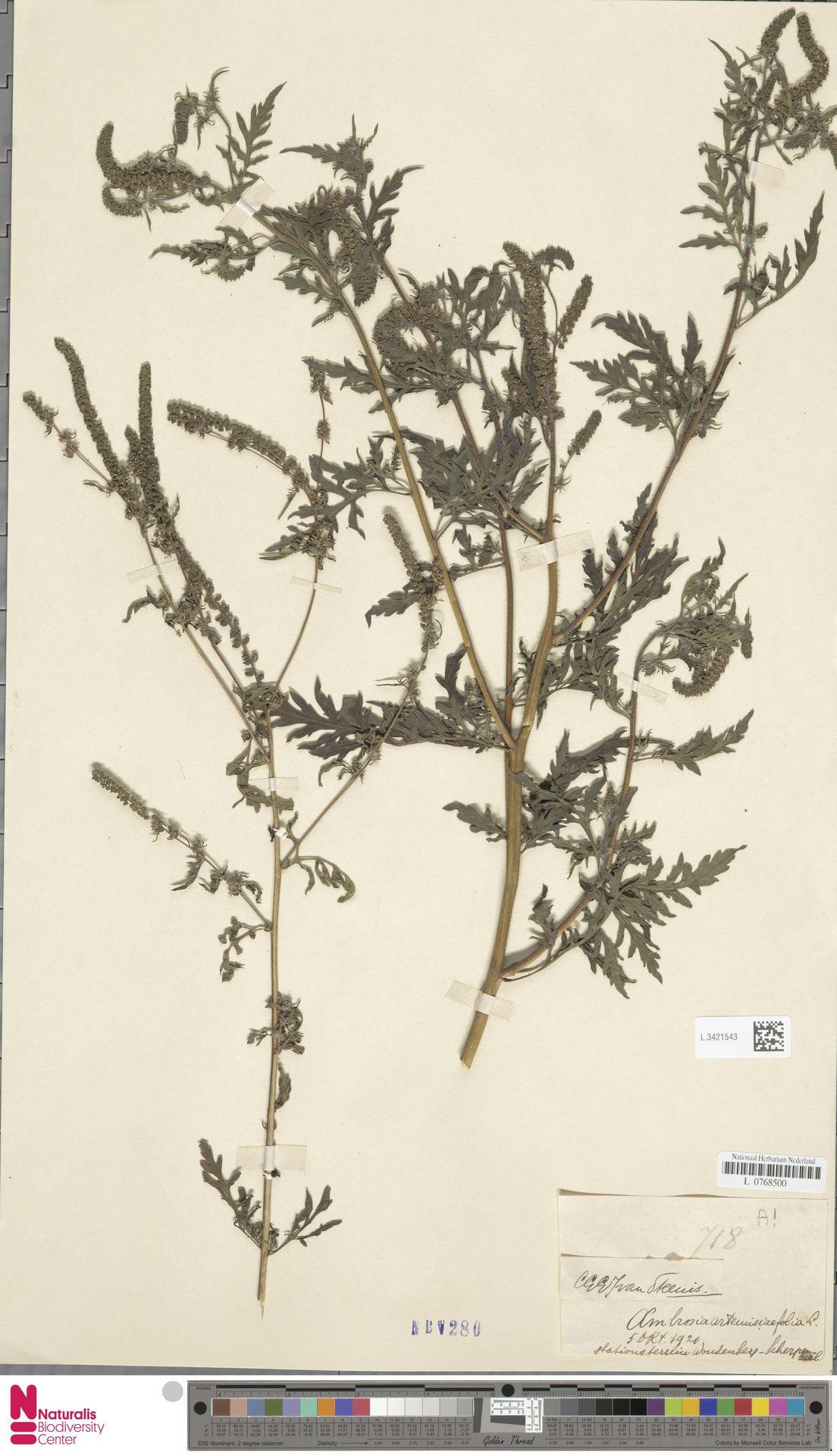 L.3421543   Ambrosia artemisiifolia L.