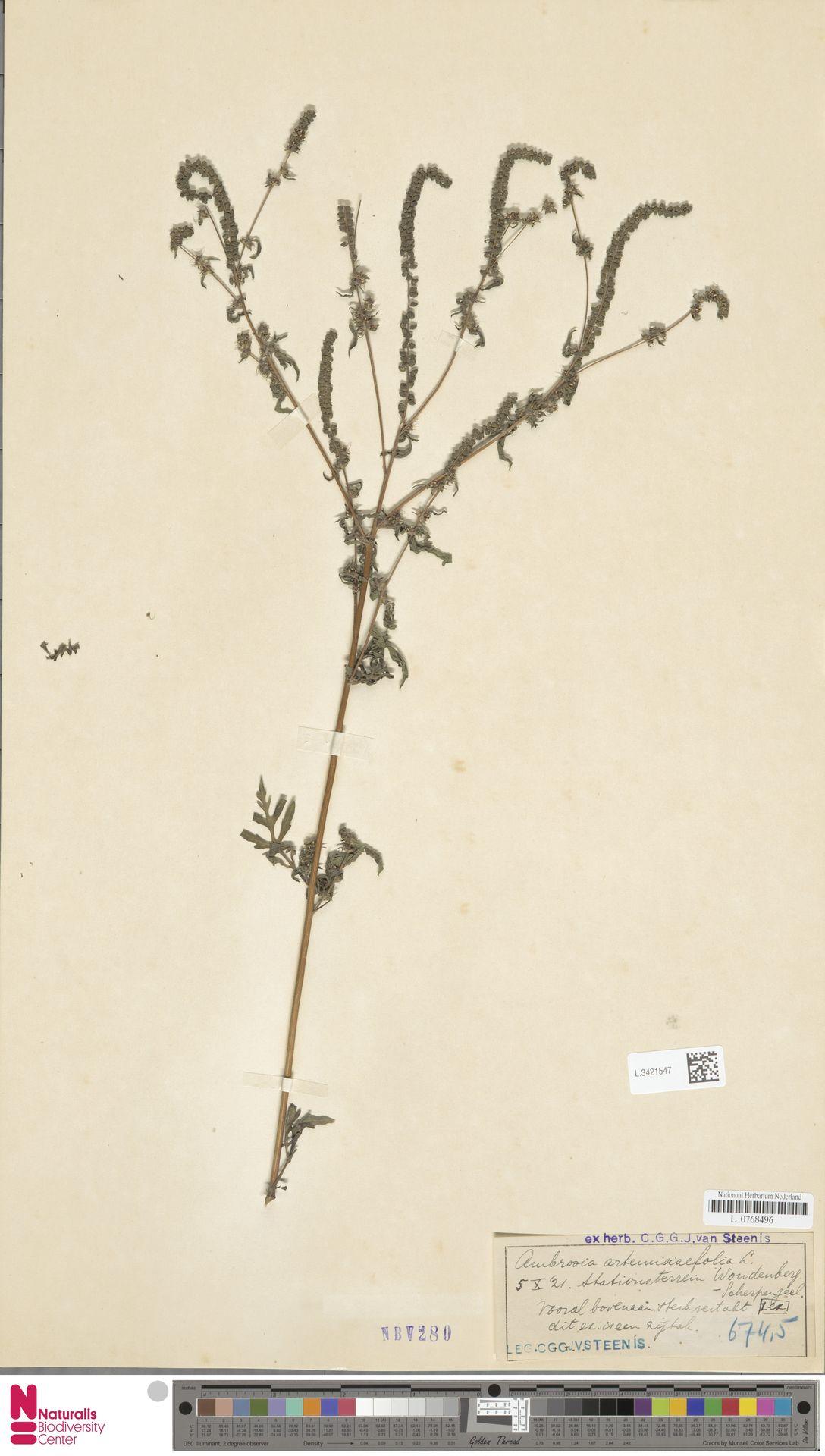 L.3421547 | Ambrosia artemisiifolia L.