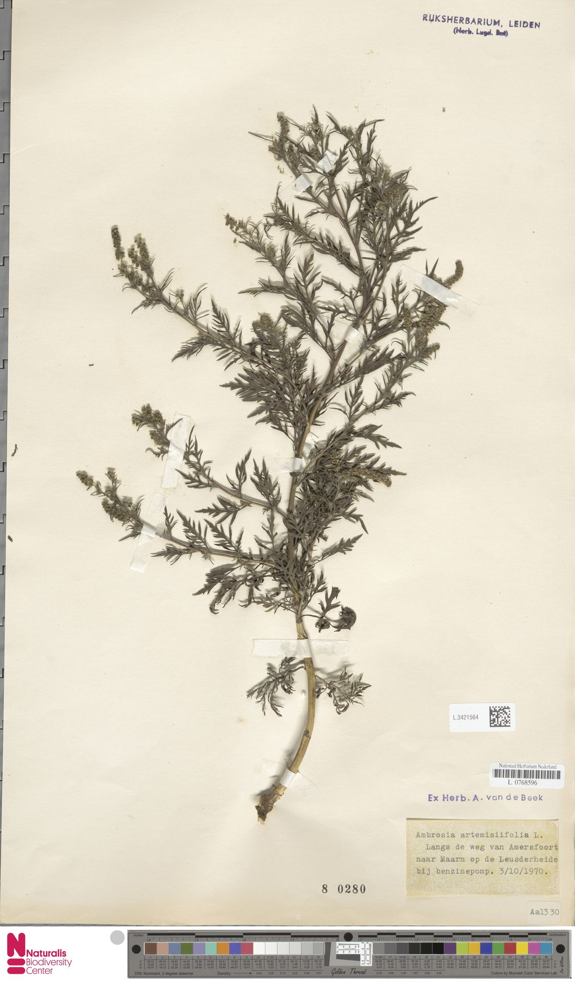 L.3421564   Ambrosia artemisiifolia L.