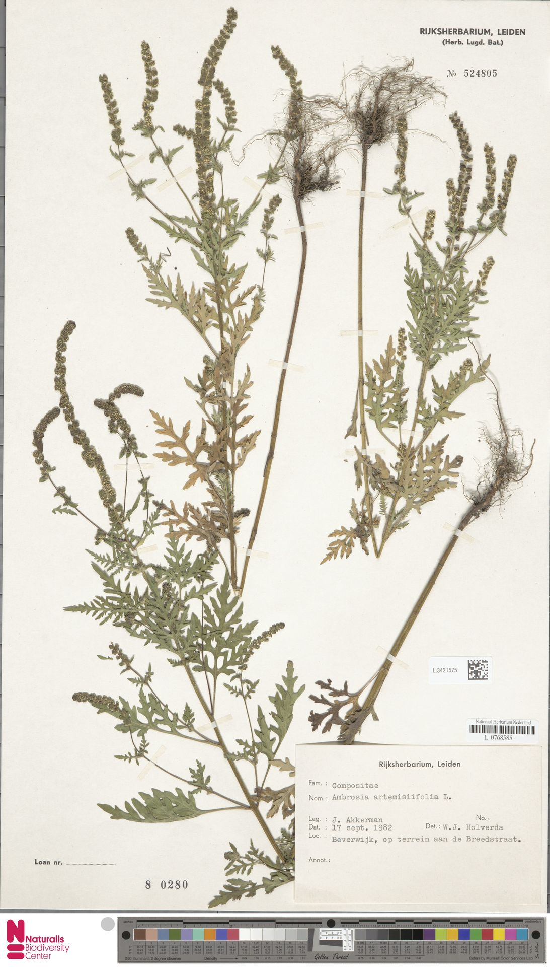 L.3421575   Ambrosia artemisiifolia L.