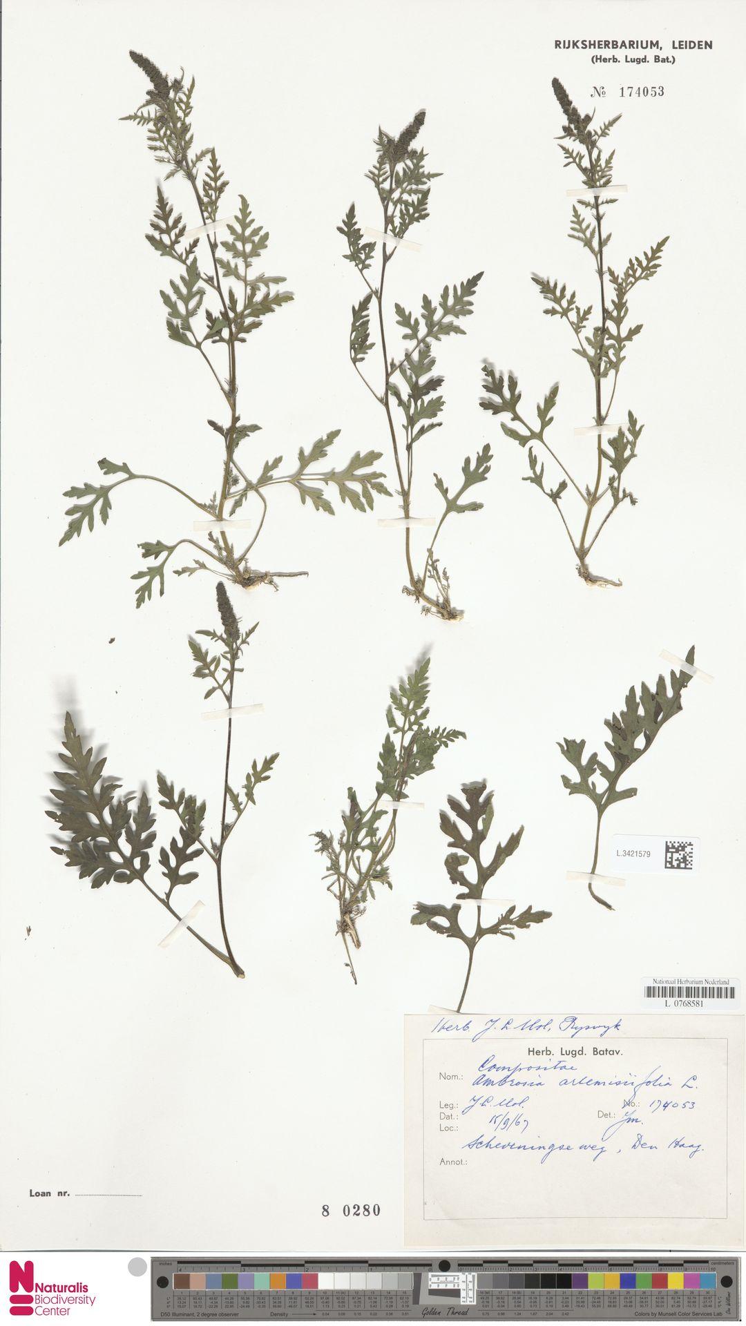 L.3421579 | Ambrosia artemisiifolia L.