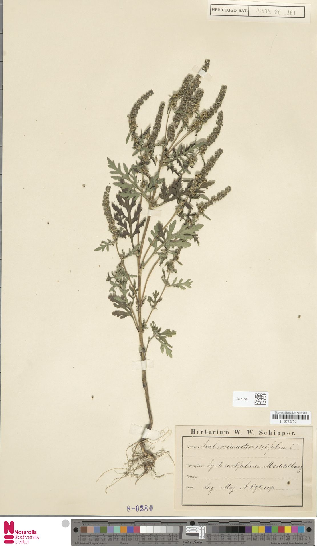 L.3421581 | Ambrosia artemisiifolia L.