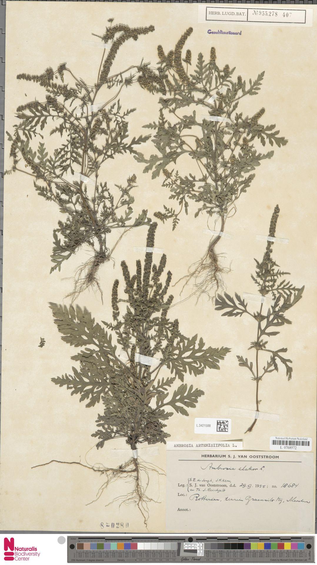 L.3421588   Ambrosia artemisiifolia L.