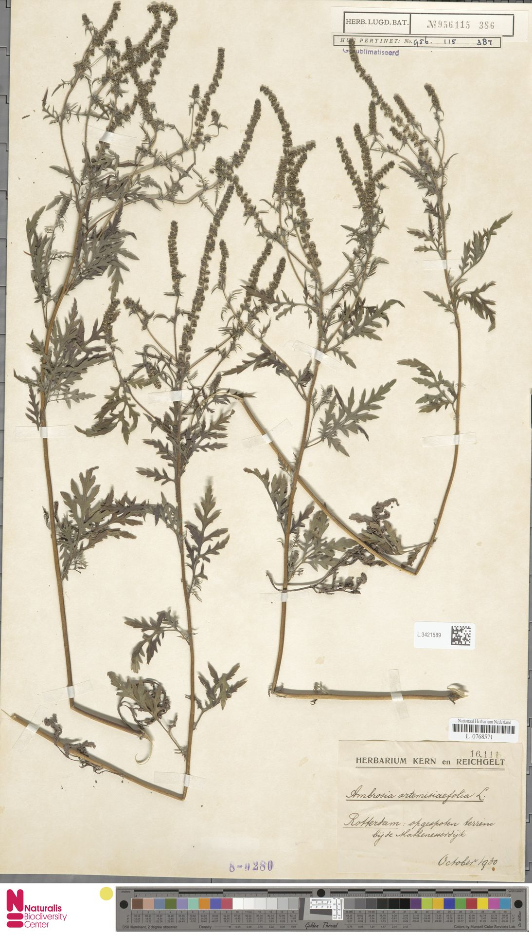 L.3421589   Ambrosia artemisiifolia L.