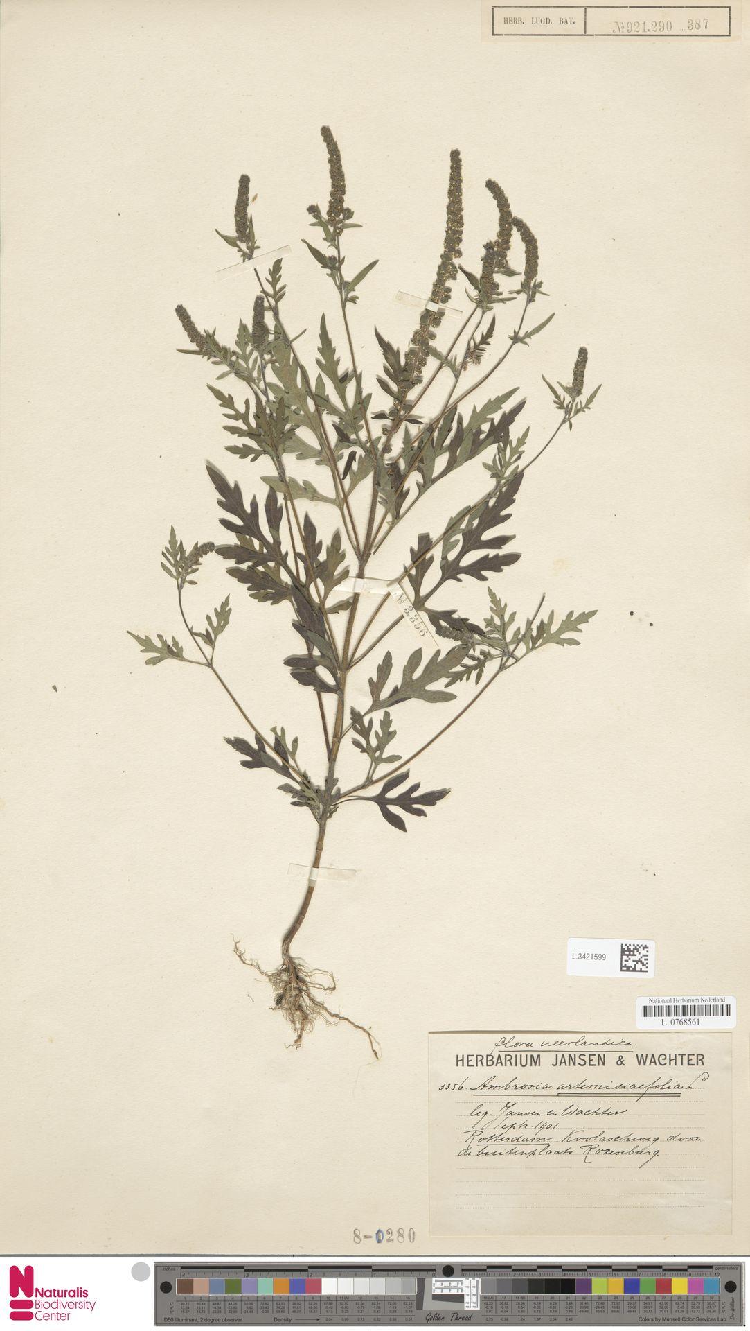 L.3421599 | Ambrosia artemisiifolia L.