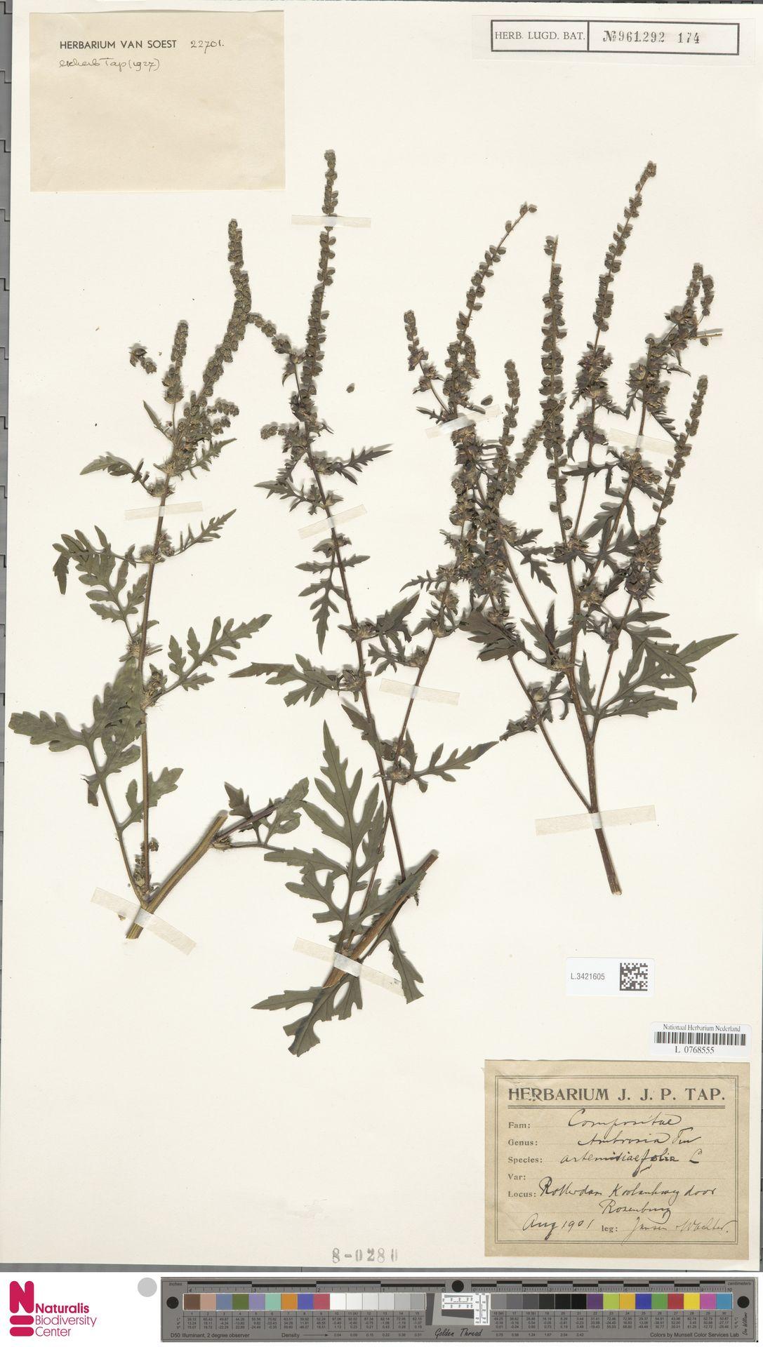 L.3421605   Ambrosia artemisiifolia L.