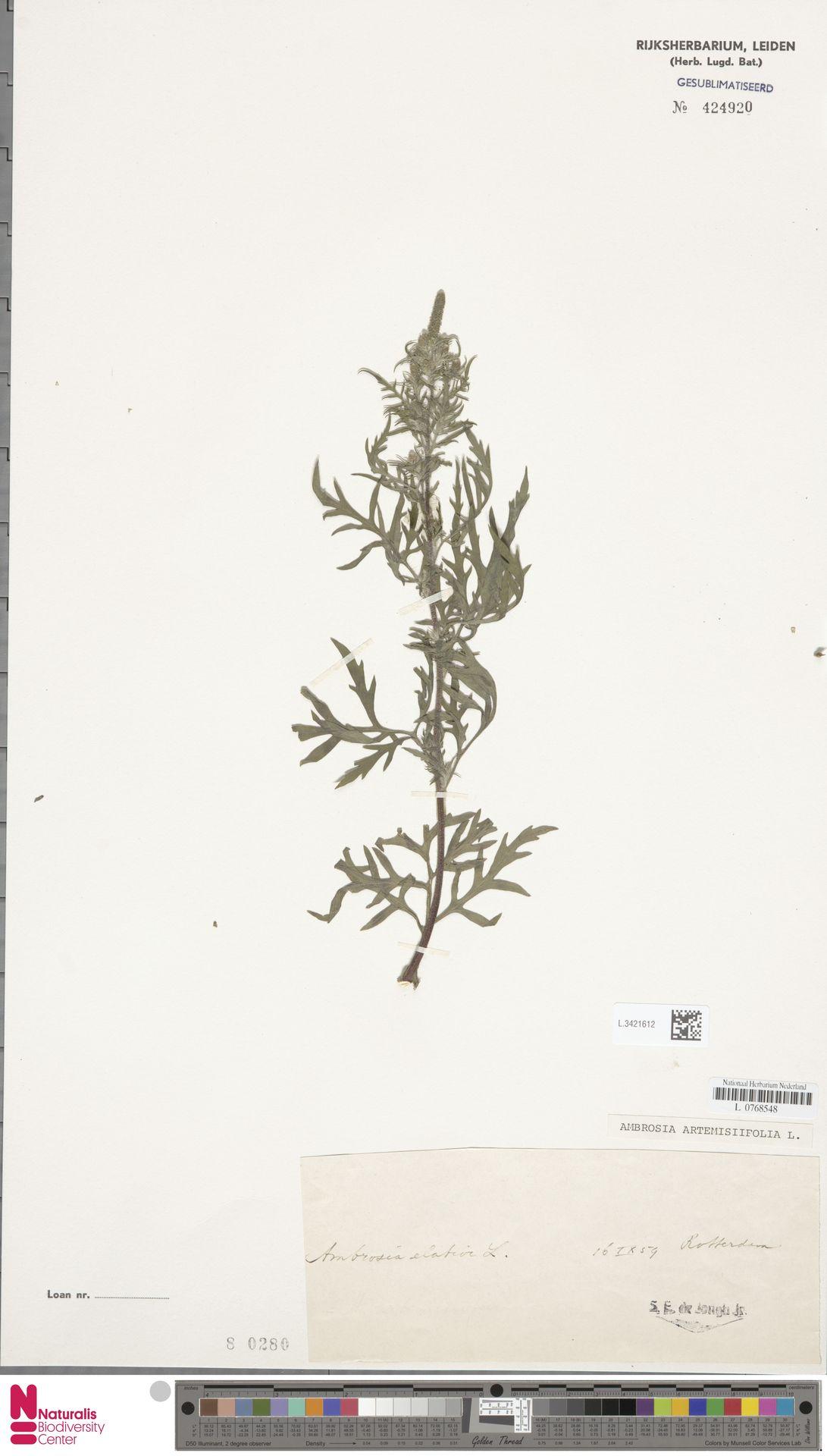 L.3421612   Ambrosia artemisiifolia L.