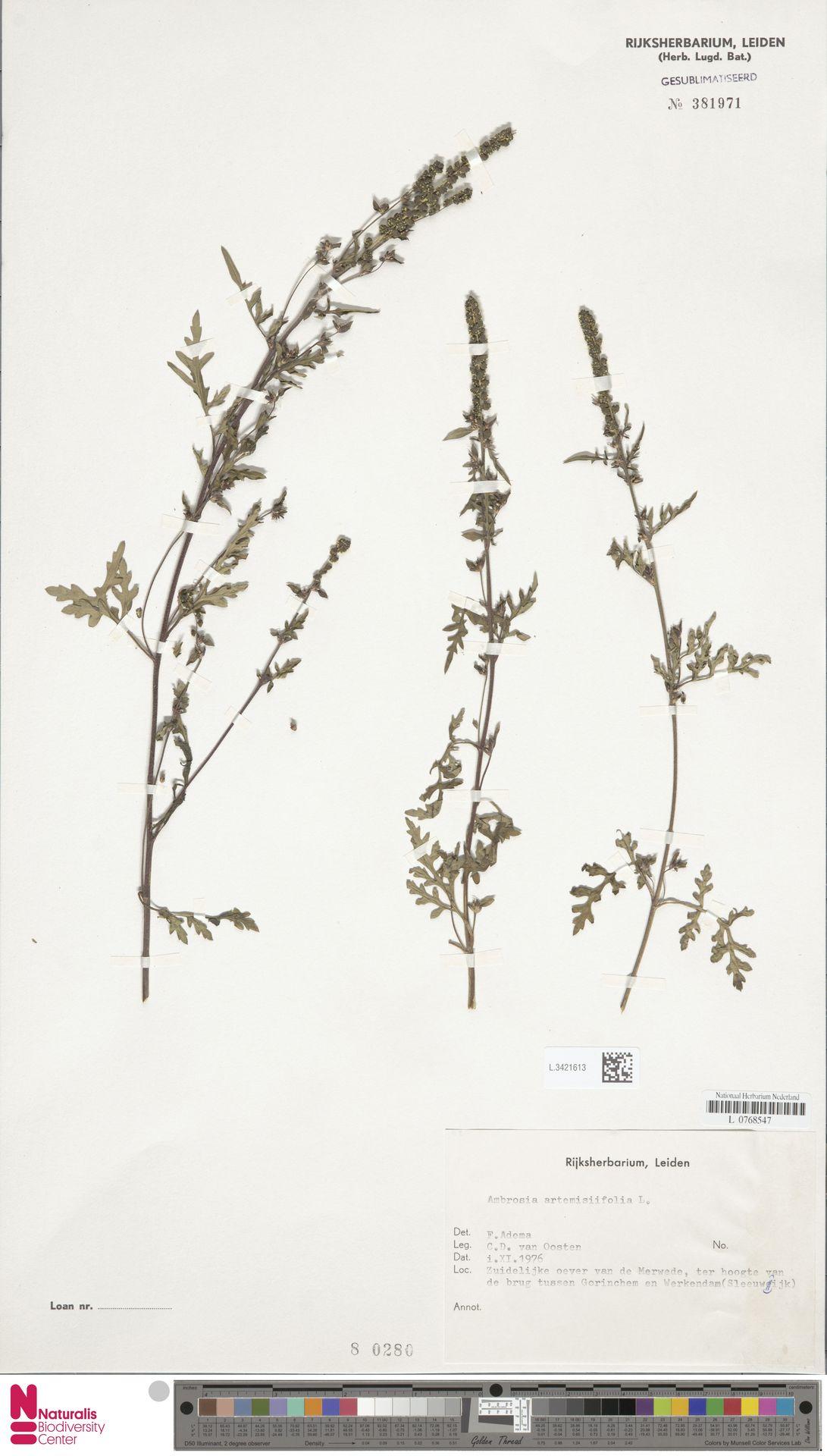 L.3421613   Ambrosia artemisiifolia L.