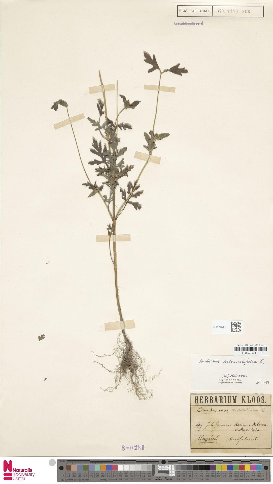 L.3421617   Ambrosia artemisiifolia L.