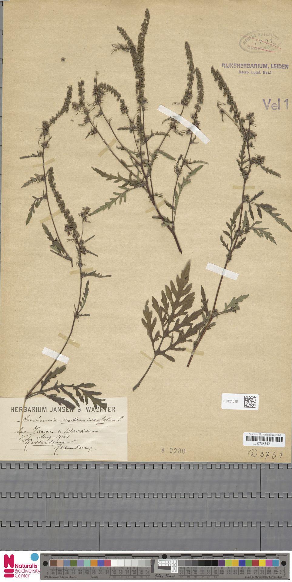 L.3421618 | Ambrosia artemisiifolia L.