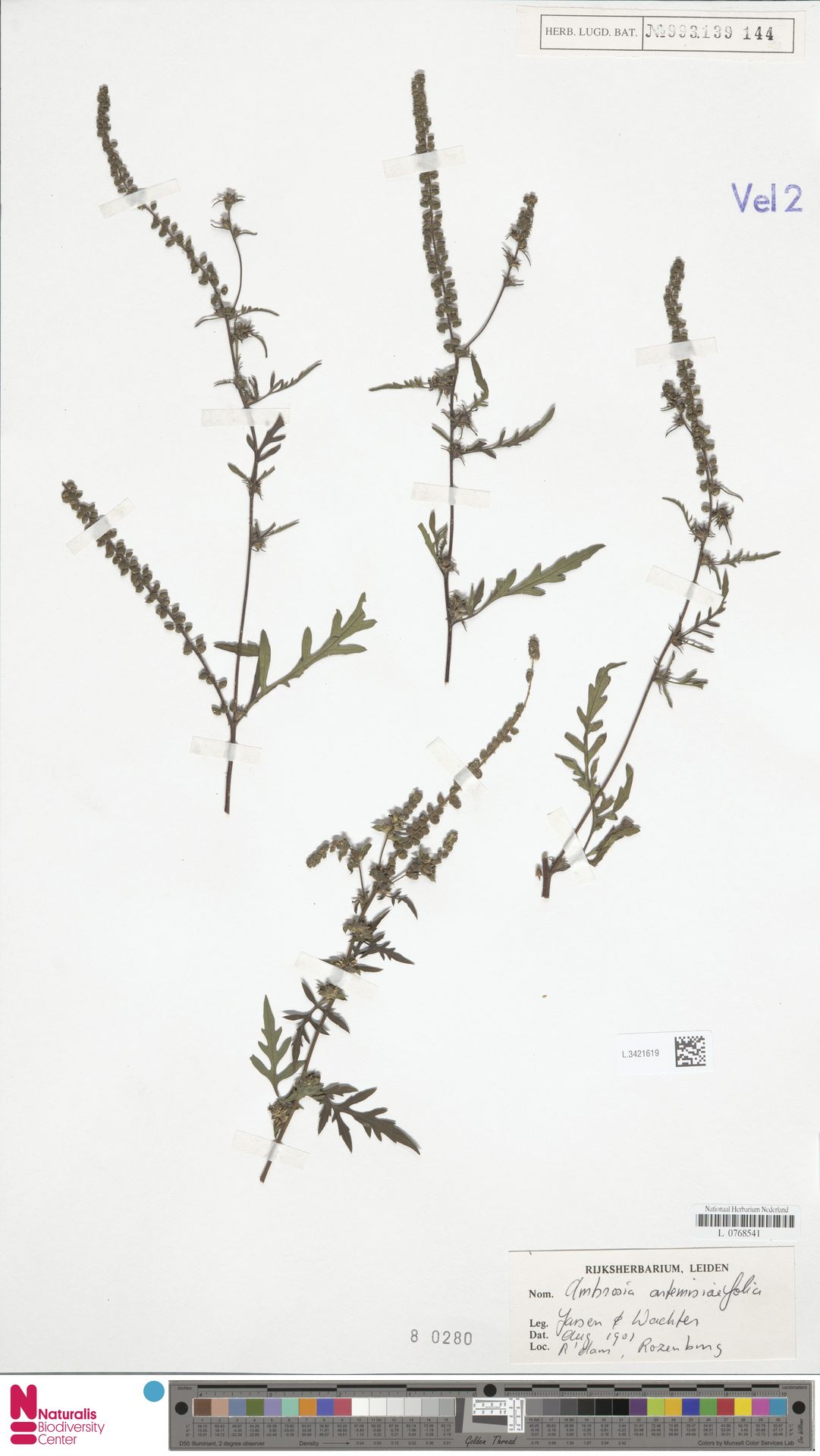 L.3421619 | Ambrosia artemisiifolia L.