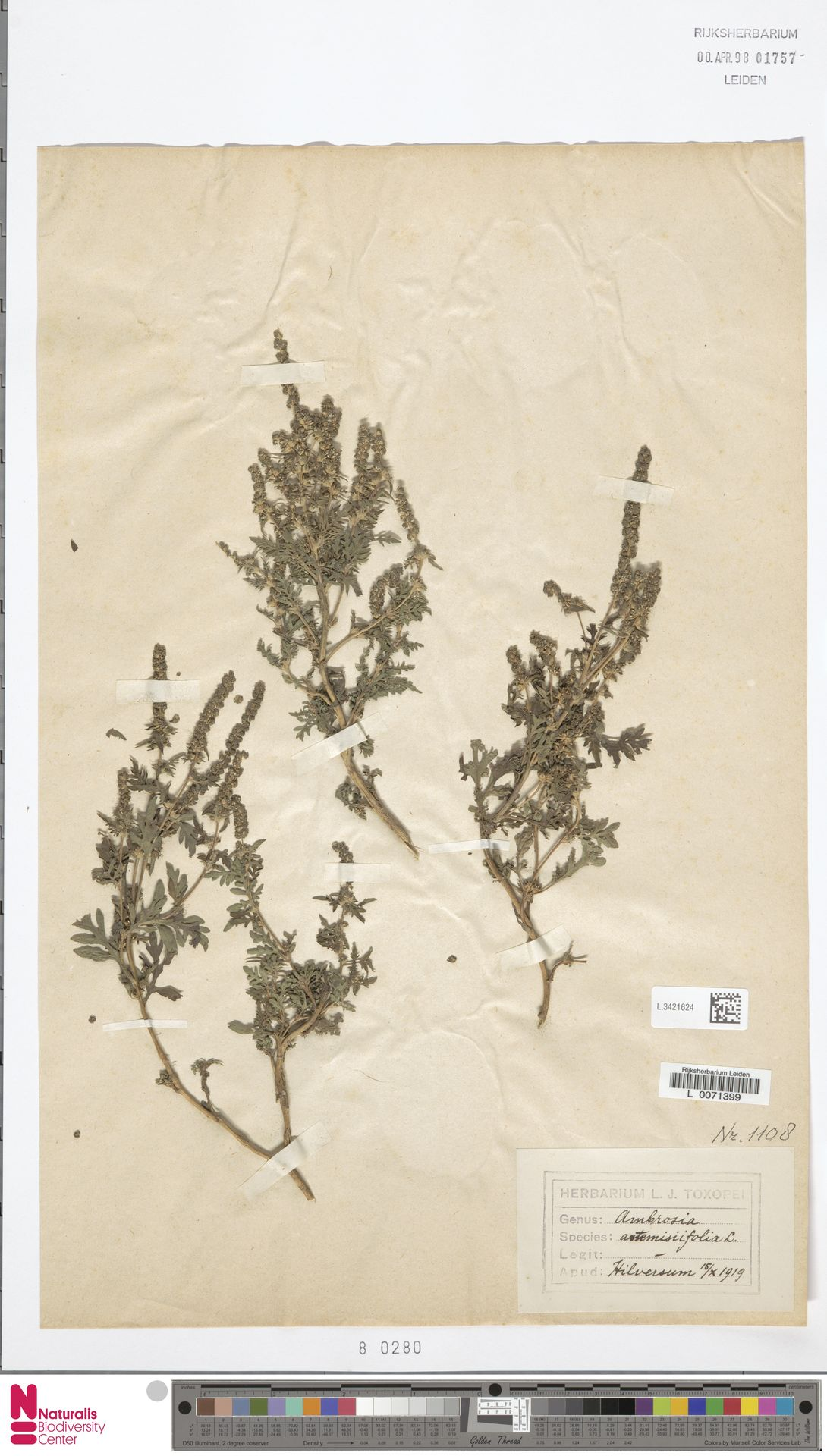 L.3421624   Ambrosia artemisiifolia L.
