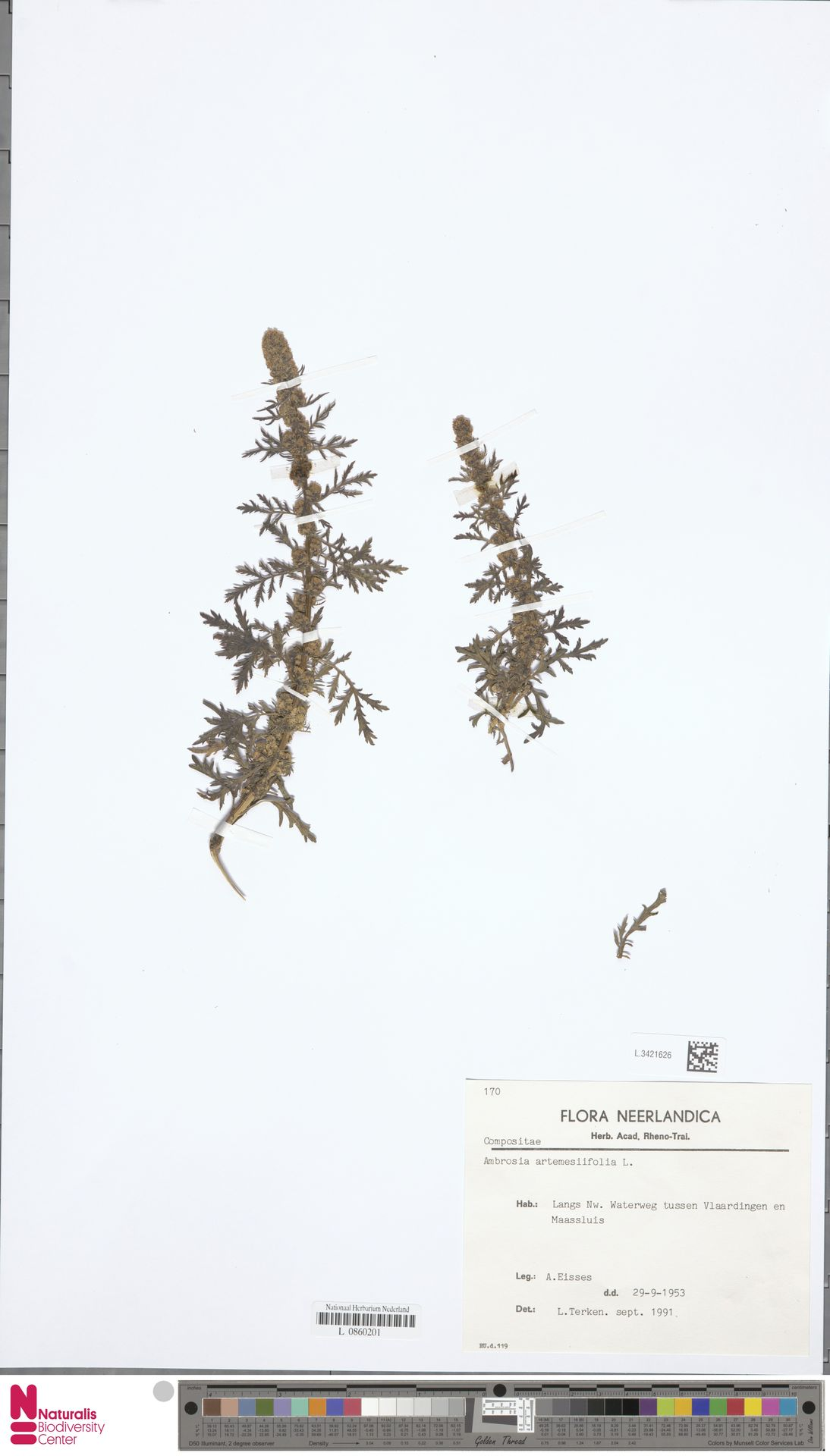 L.3421626   Ambrosia artemisiifolia L.