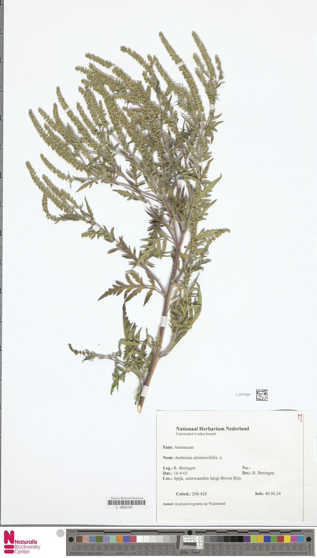 L.3421629   Ambrosia artemisiifolia L.